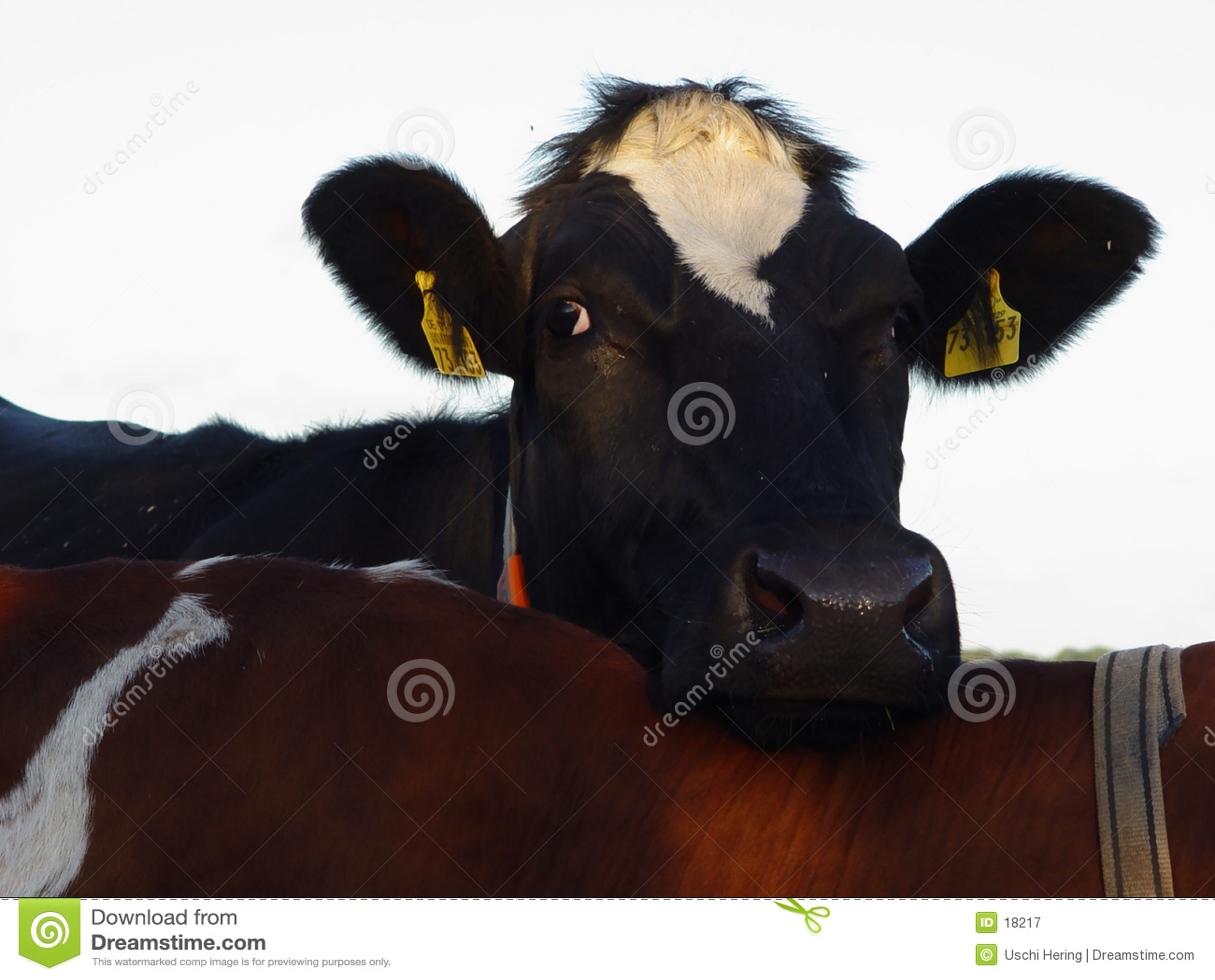 Vaca cómoda
