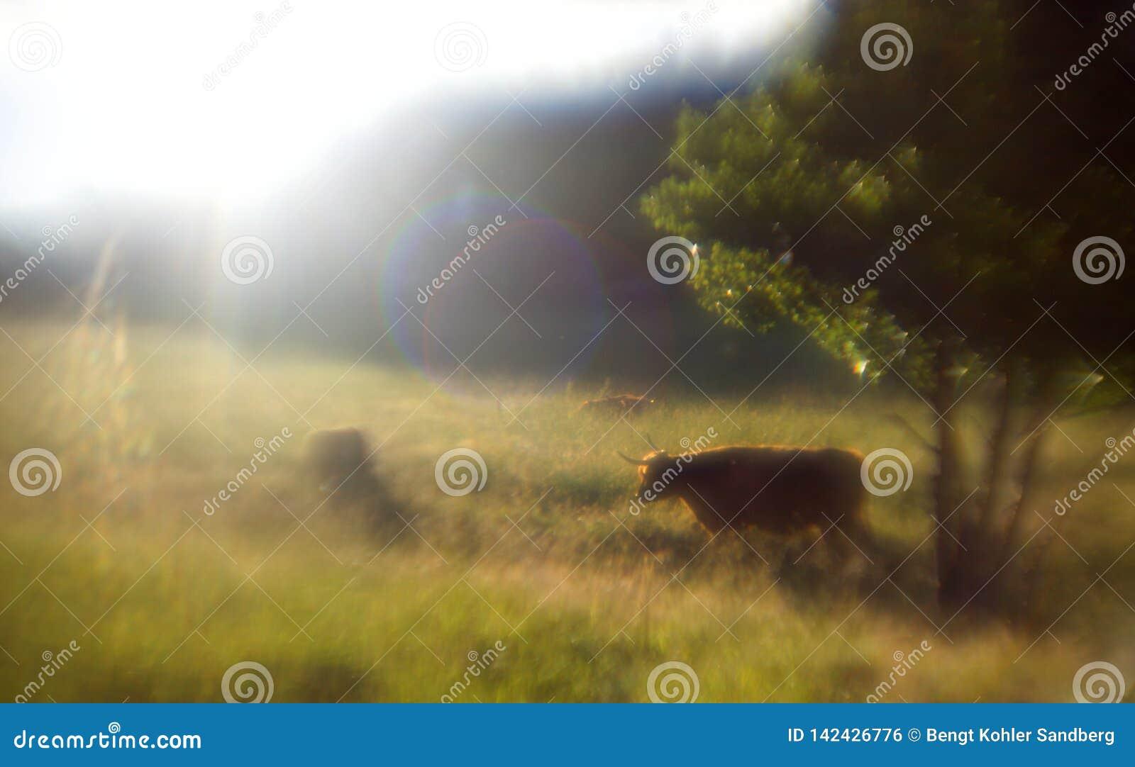 Vaca com chifres, um fulgor sonhador como a foto