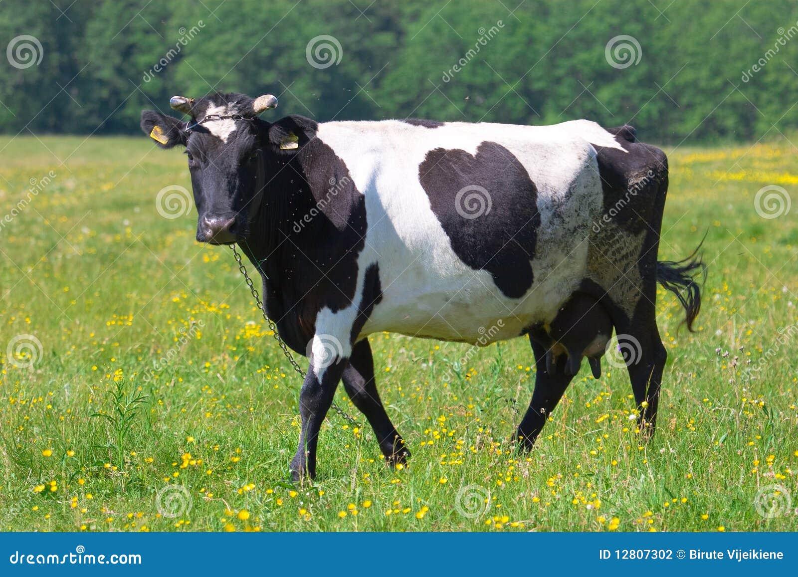 Vaca com coração preto