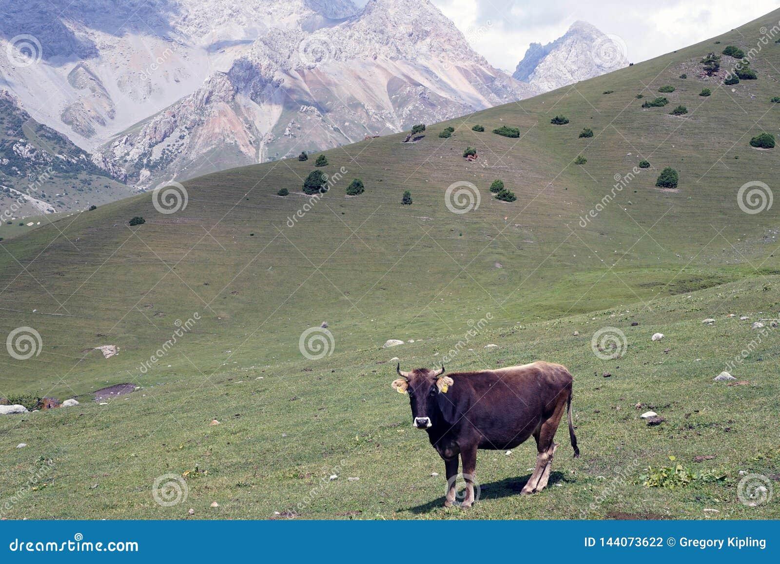Vaca curiosa em Ata National Park kirguiz