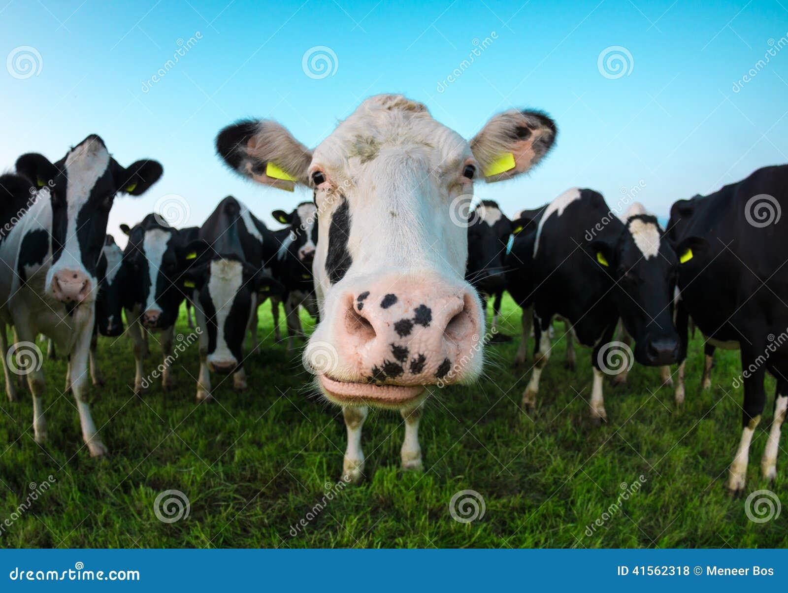 Vaca curiosa que mira in camera