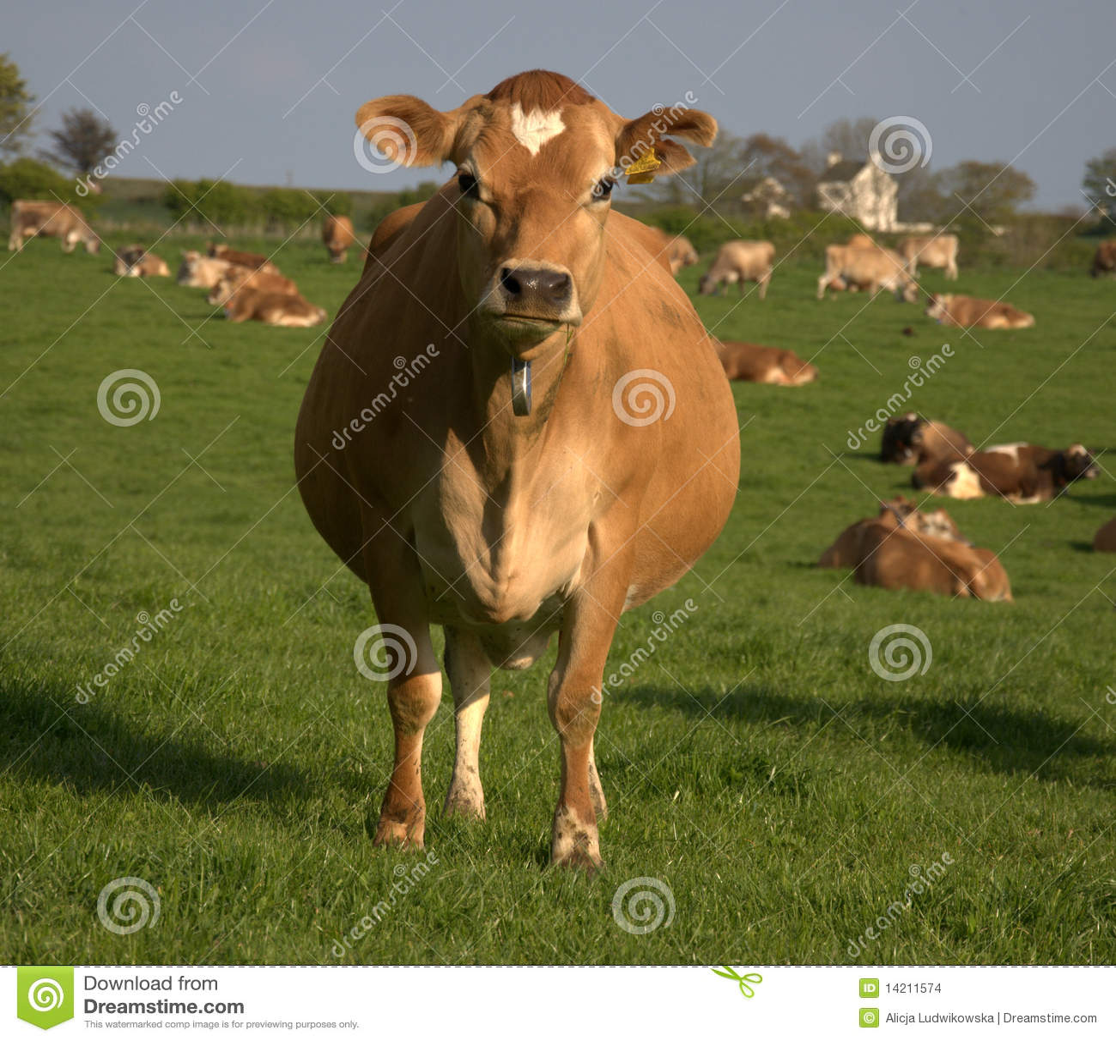 Vaca de Brown