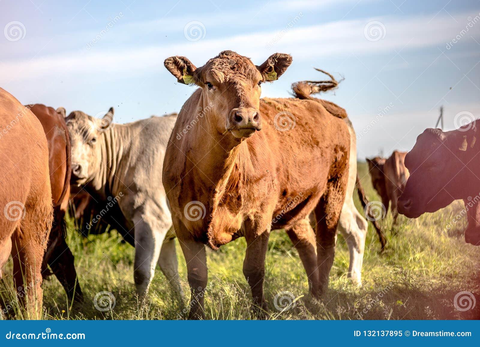 Vaca de Brown angus na cauda de ondulação do rebanho