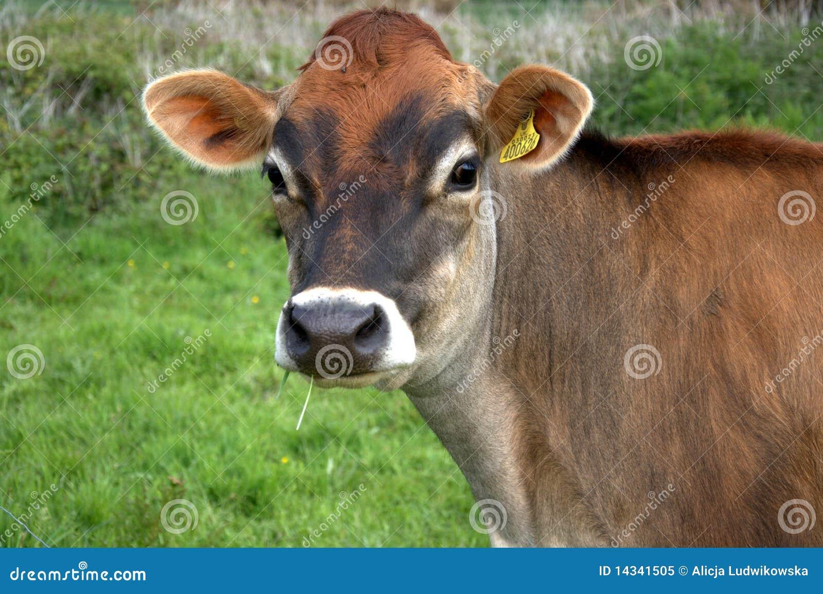 Vaca de Brown Jersey