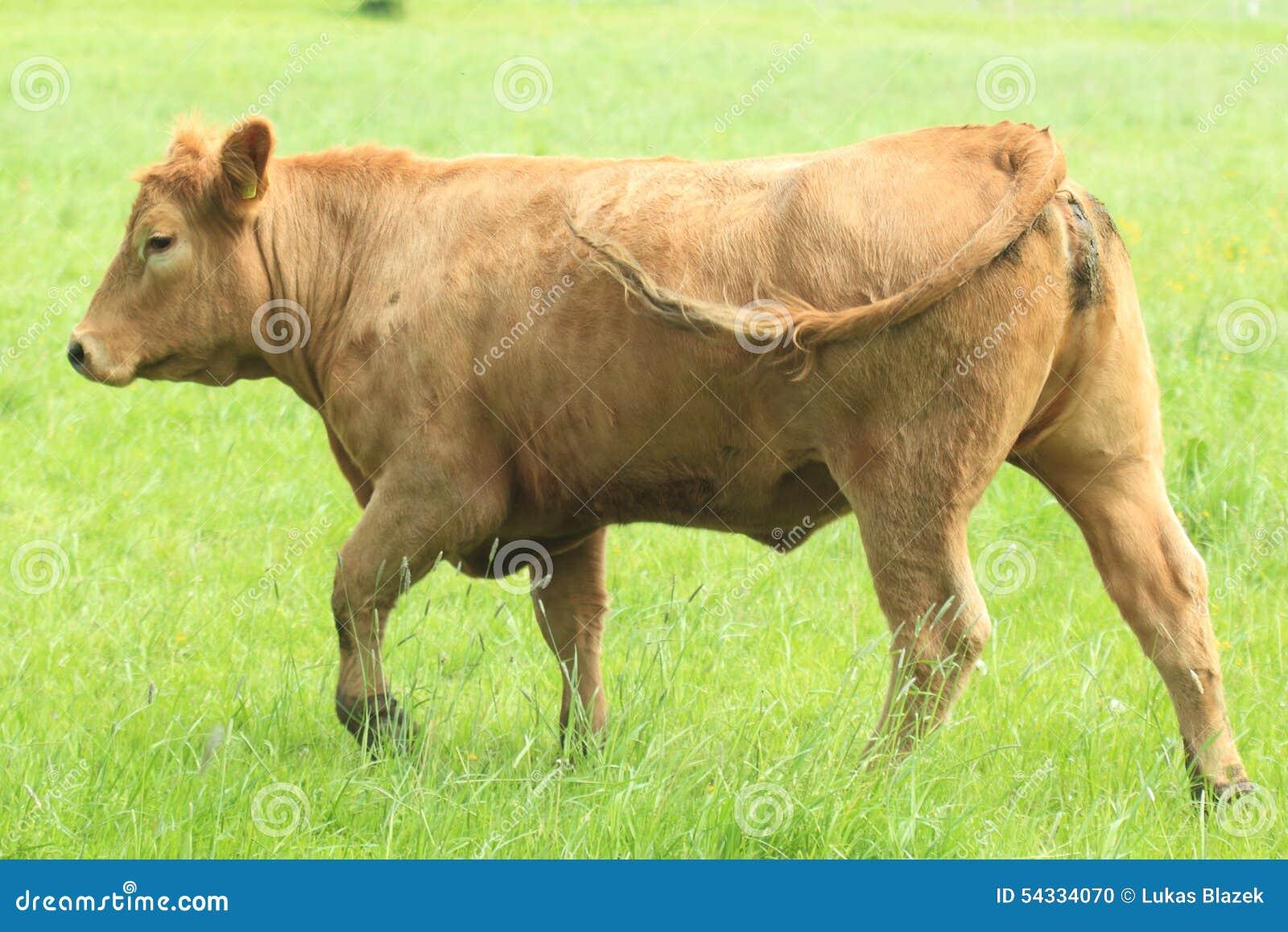Vaca de Brown no pasto