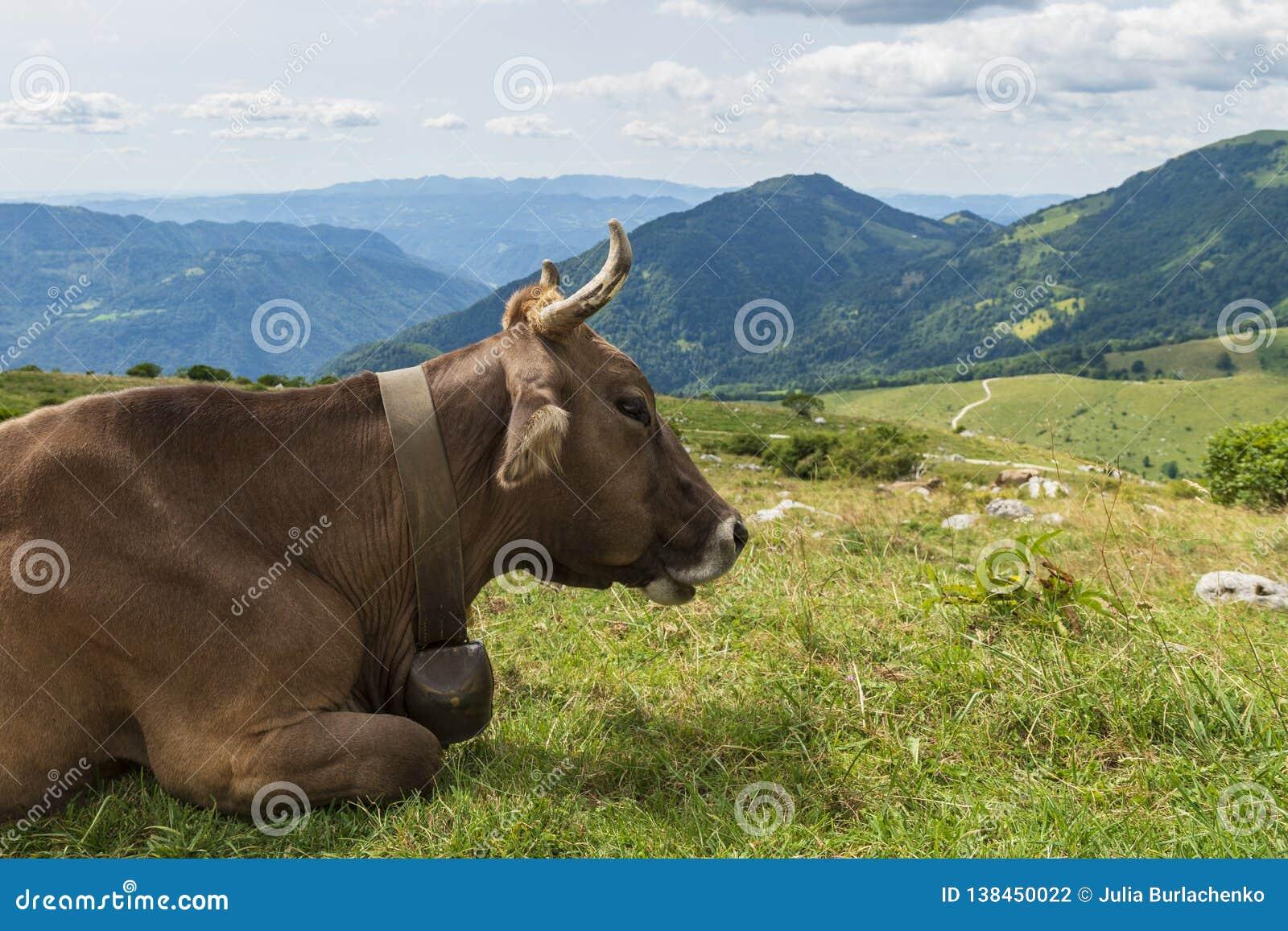 Vaca de Brown que pasta em um gramado alpino