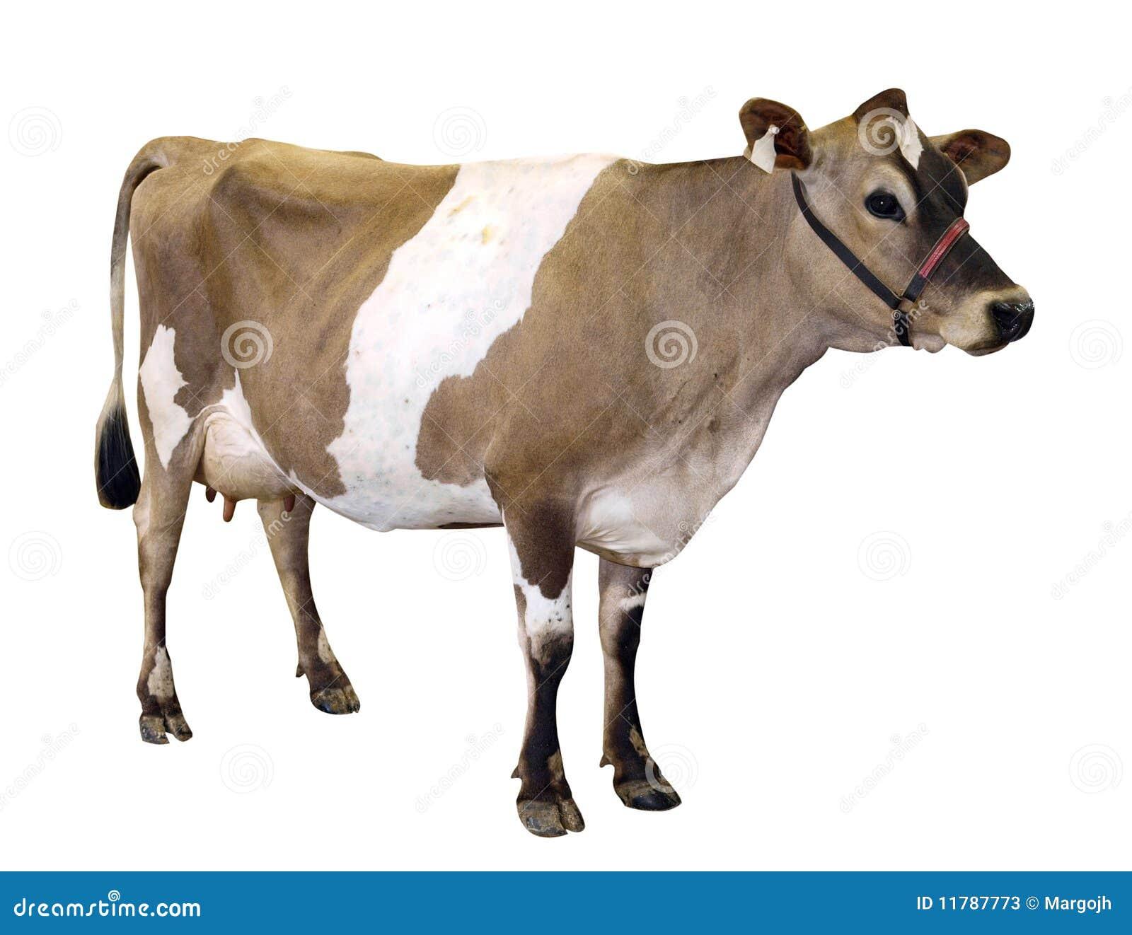 Vaca de Jersey con el halter aislado con el camino de recortes.