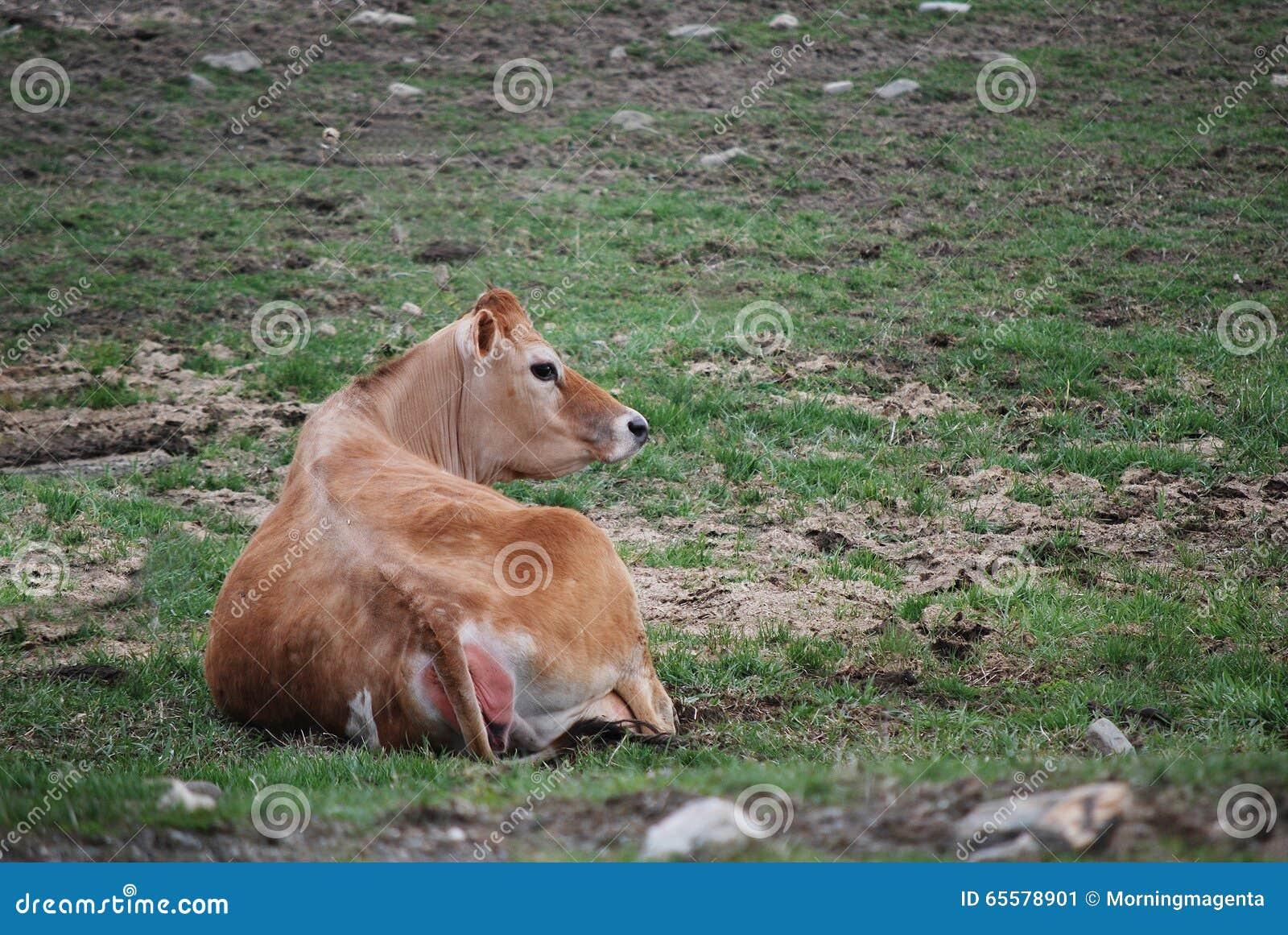 Vaca de Jersey no pasto