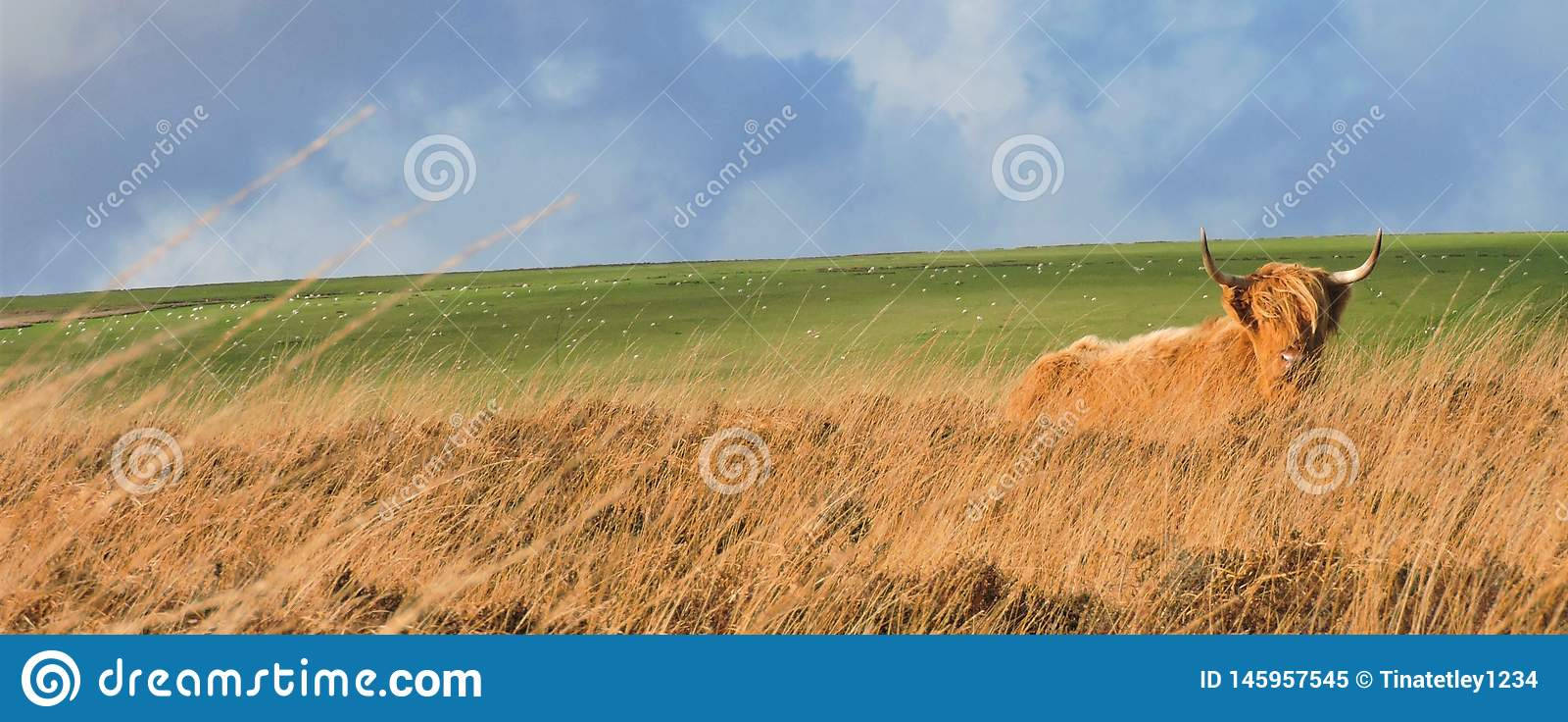 Vaca de la monta?a que coloca en paramera herbosa
