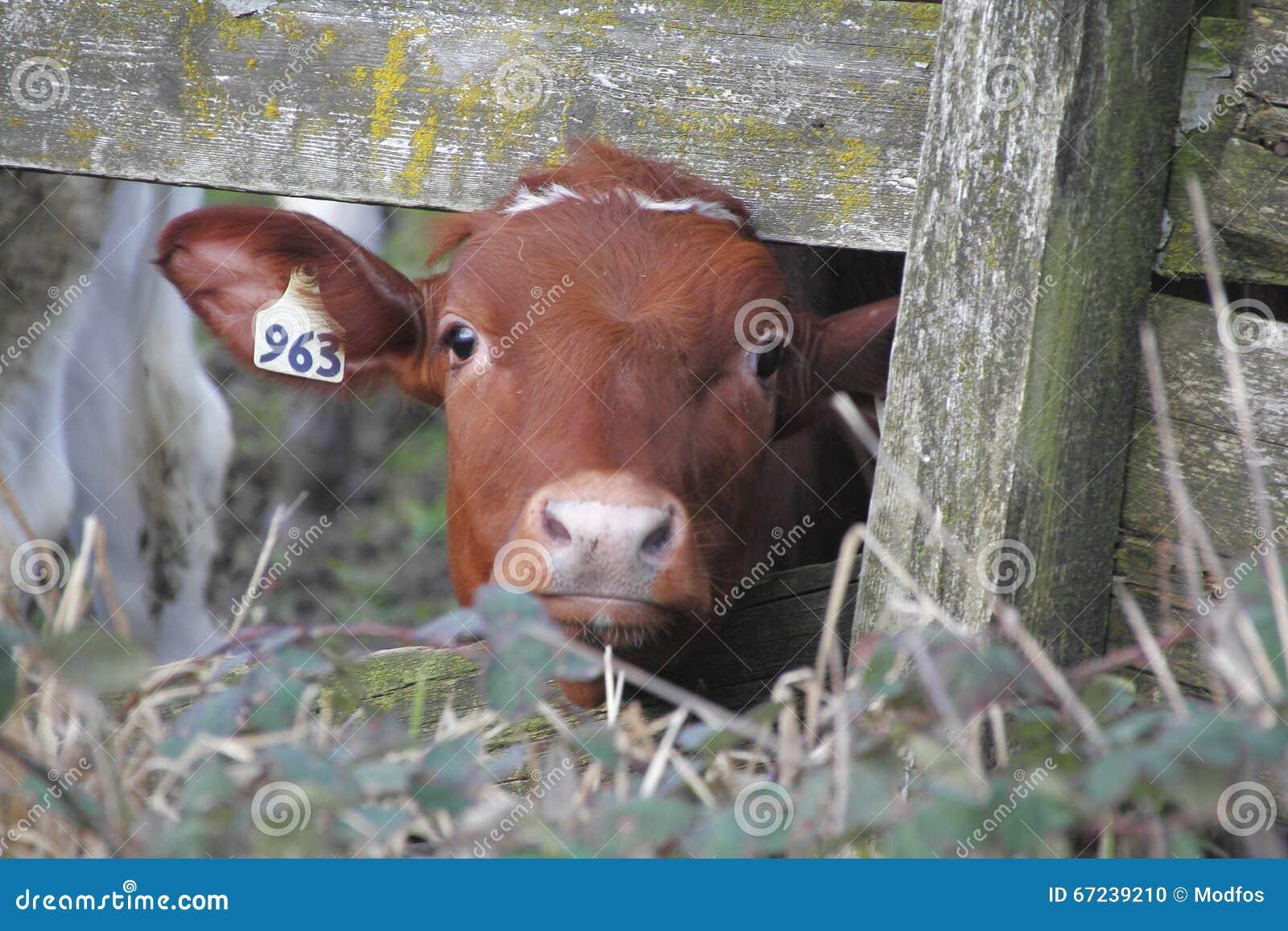 Vaca de leiteria nova