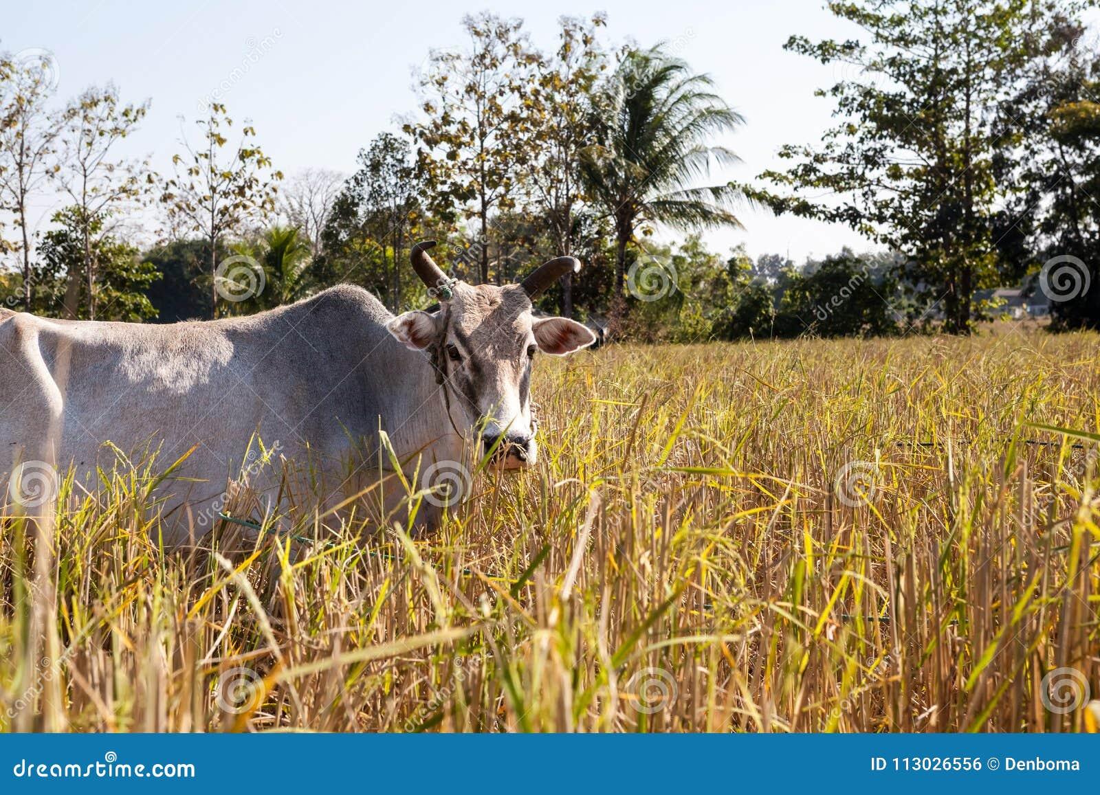 Vaca de Tailandia