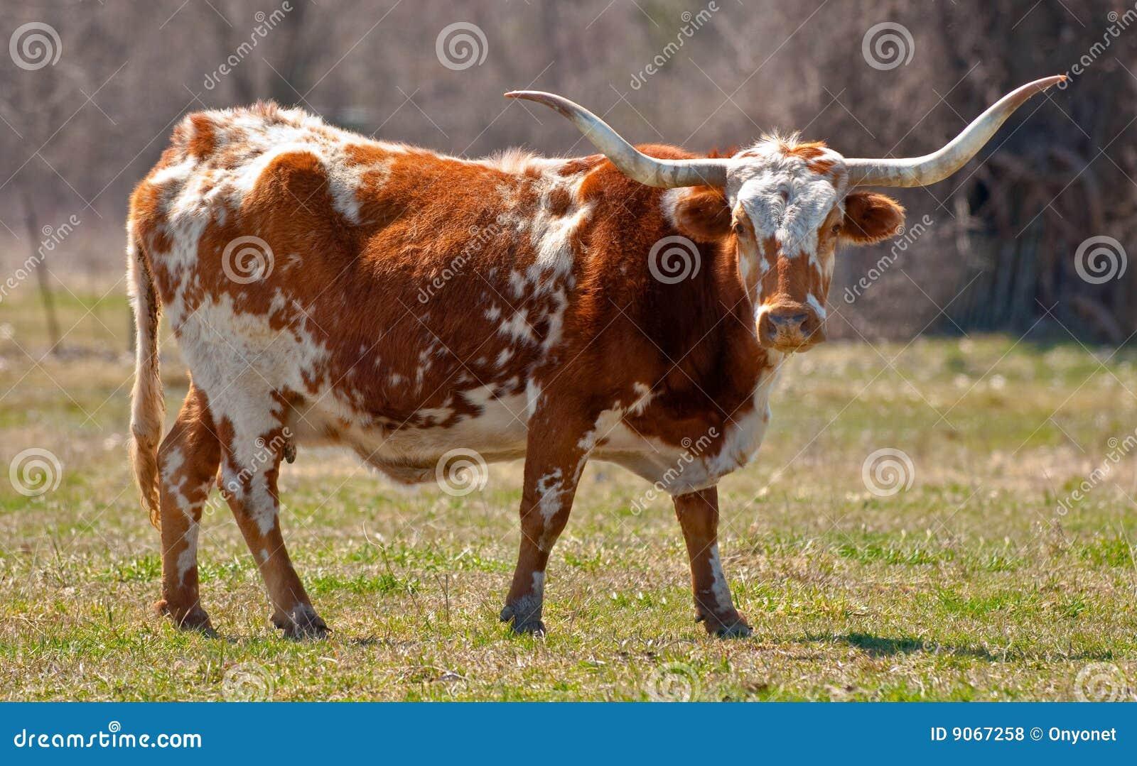 Vaca de Texas Longhorn