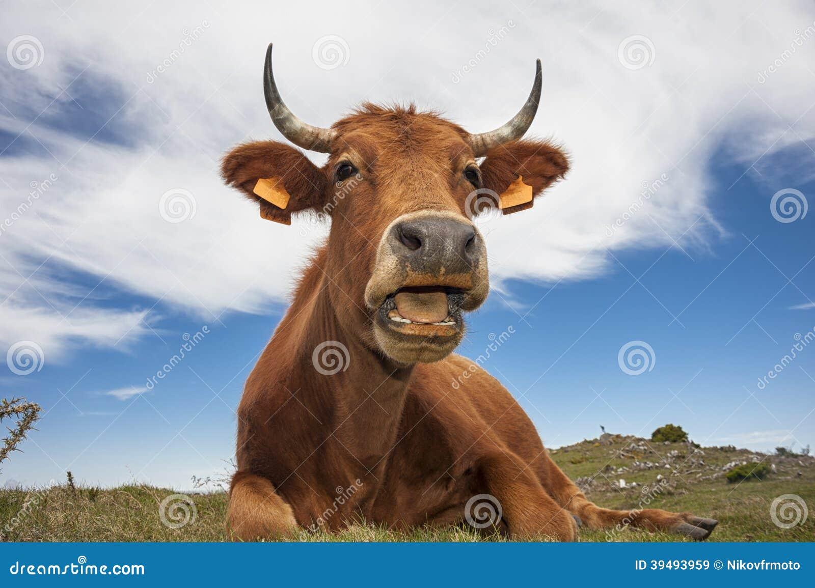 Vaca divertida
