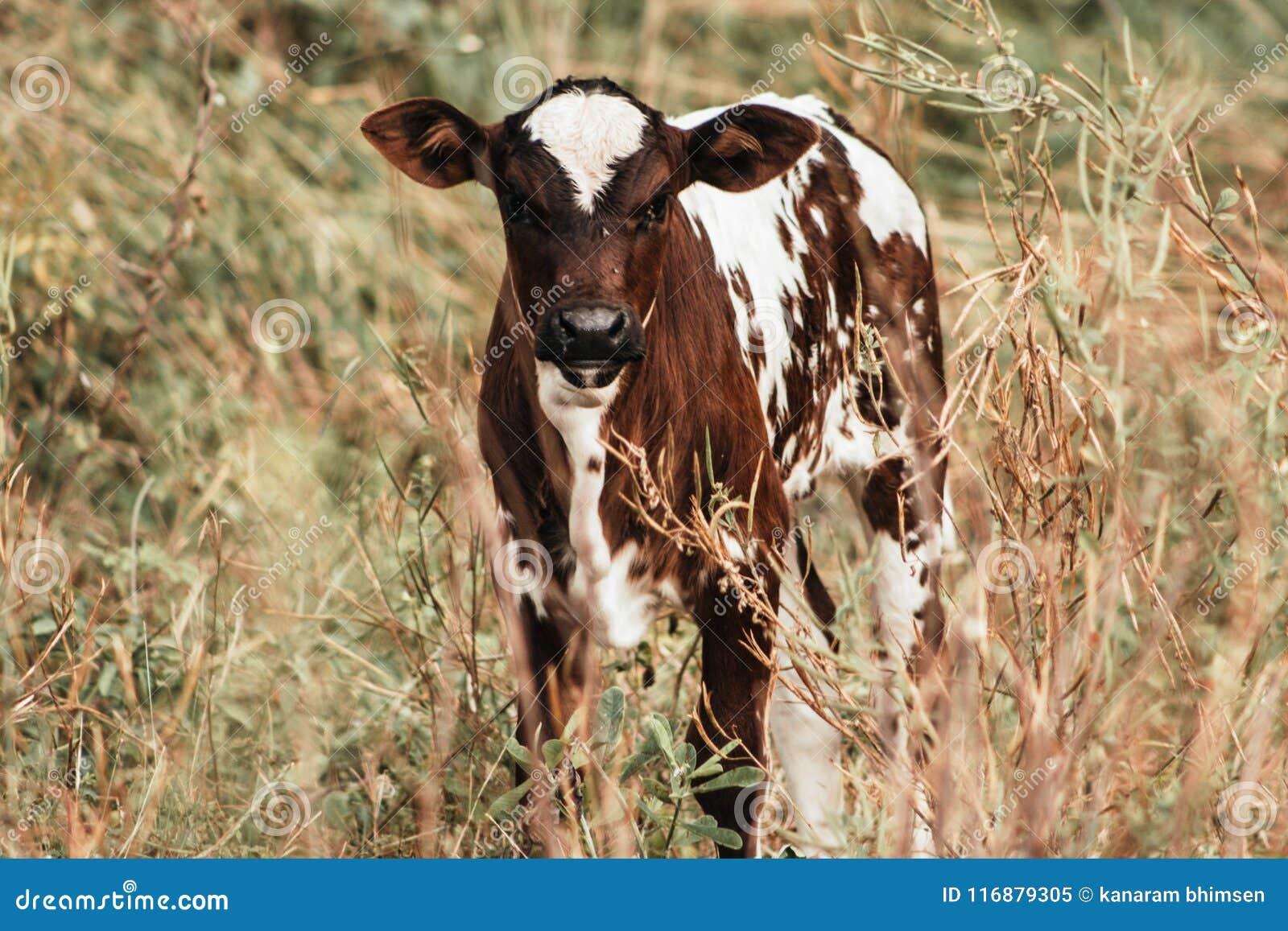 Vaca do bebê de Brown