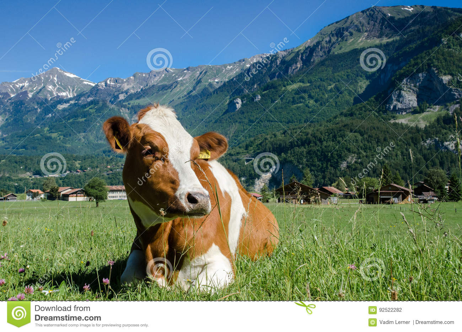 A vaca do suíço de Brown encontra-se no prado verde com backg alpino das montanhas