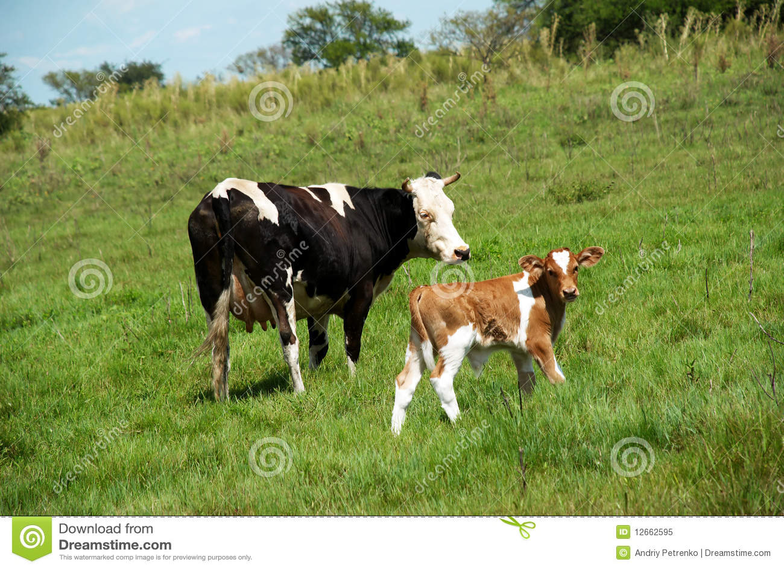 A vaca e o touro-calfe