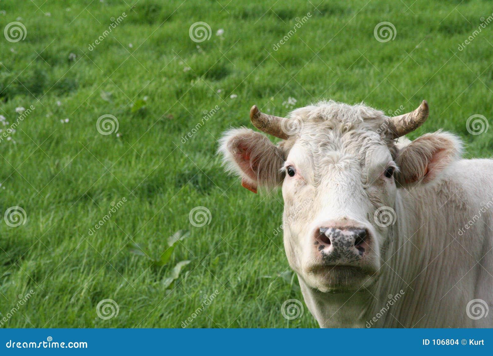 Vaca e pasto