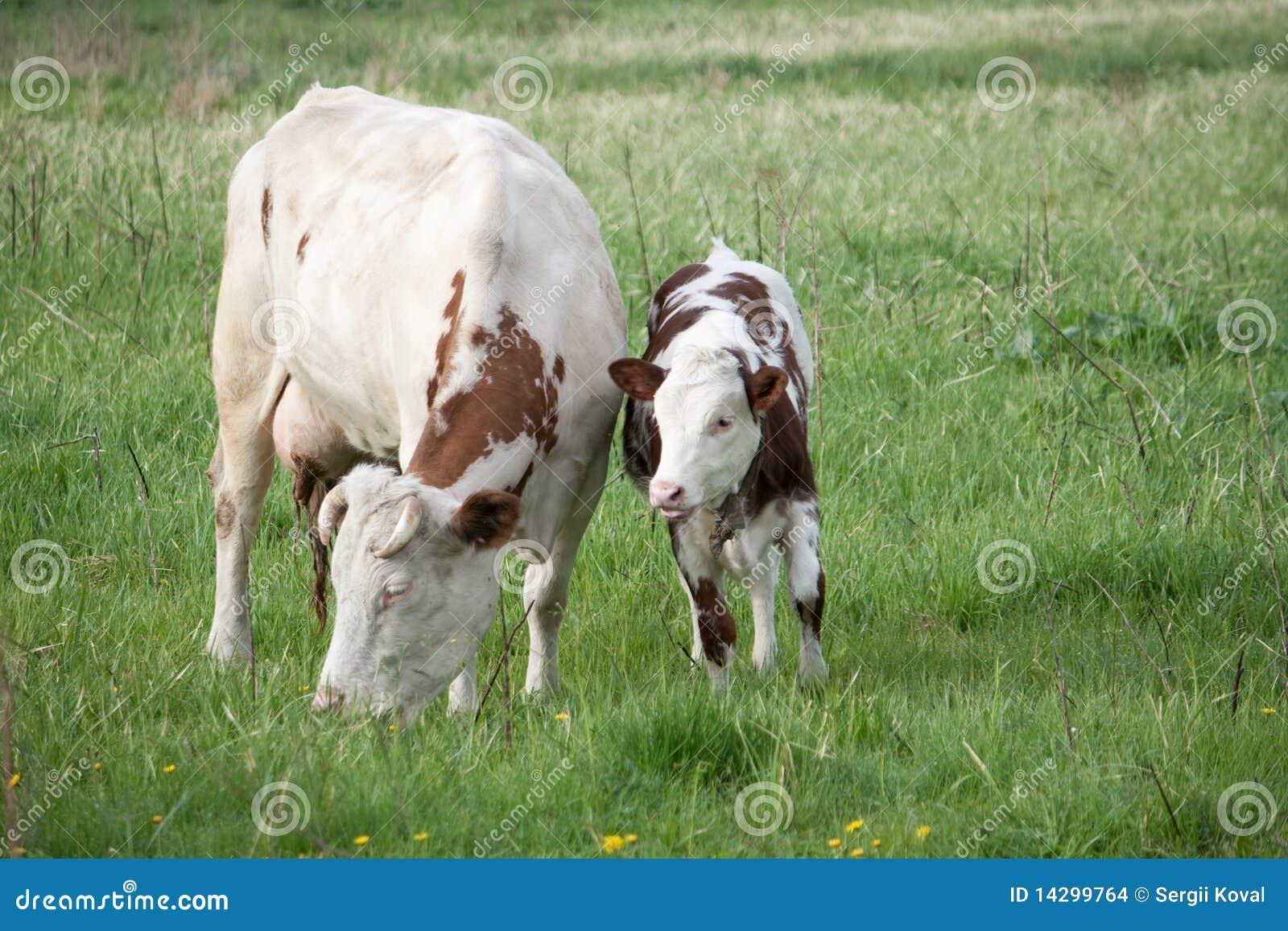 Vaca e vitela