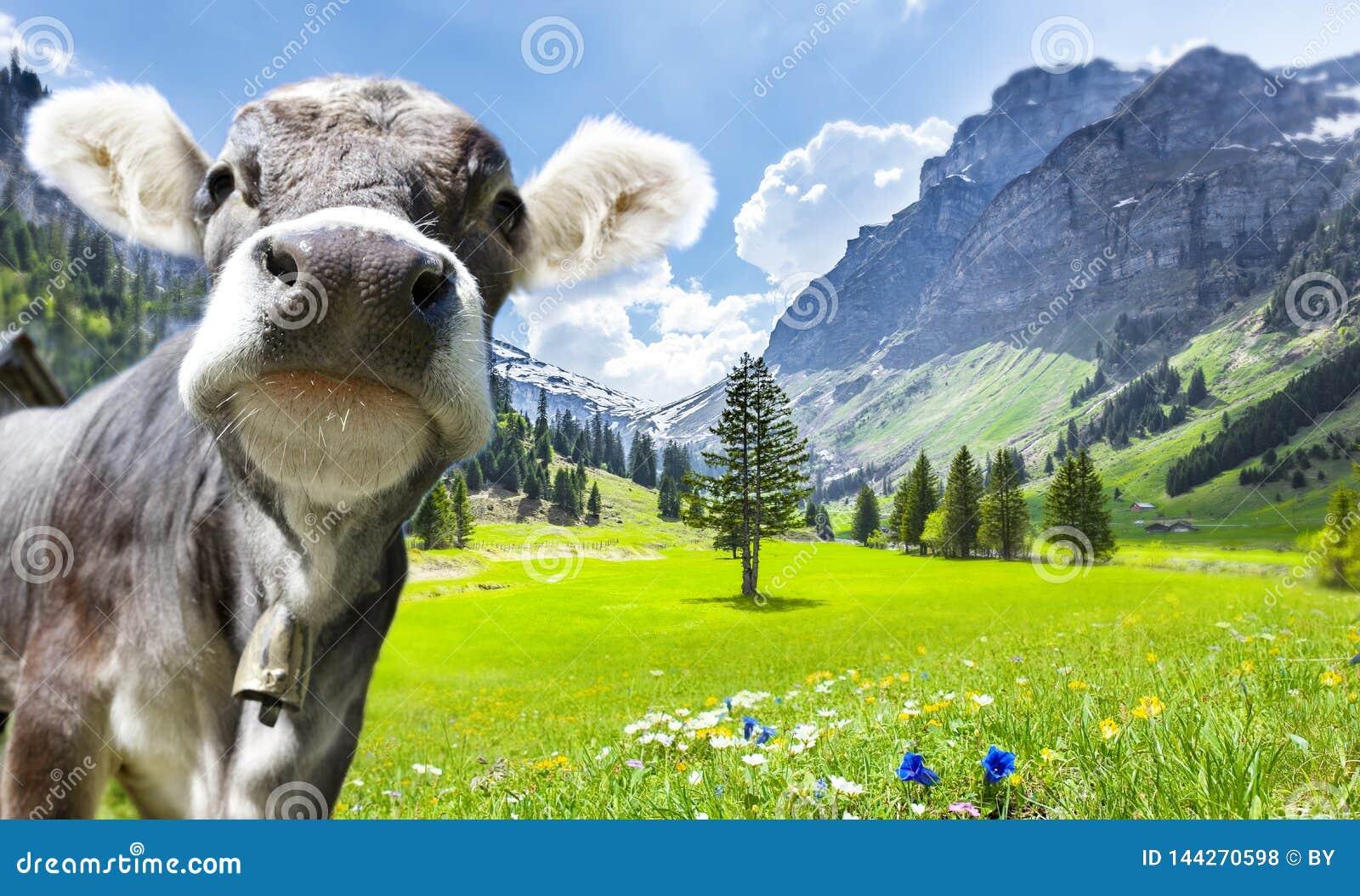 Vaca em cumes su??os