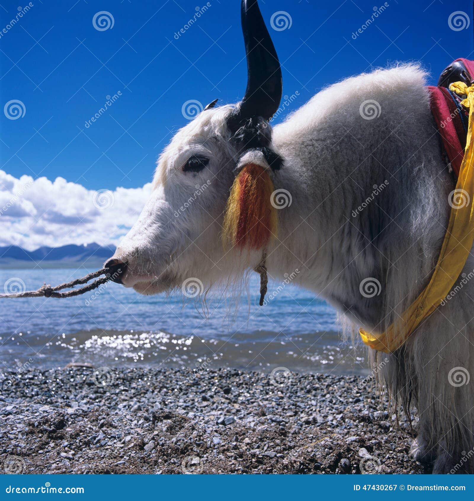 Vaca em Tibet