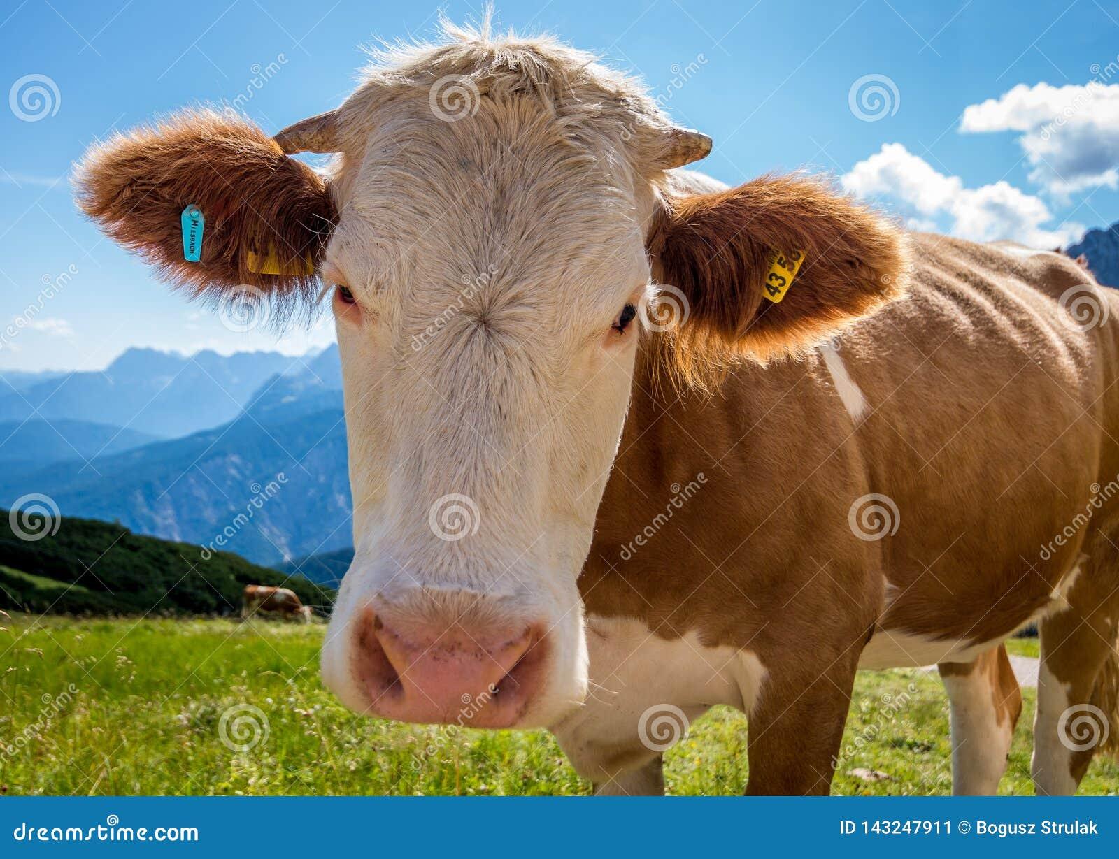 Vaca em um prado que olha a uma câmera com os cumes no fundo