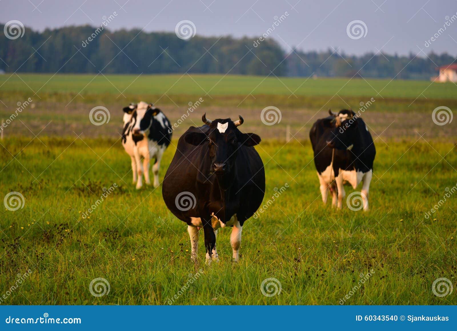 Vaca embarazada