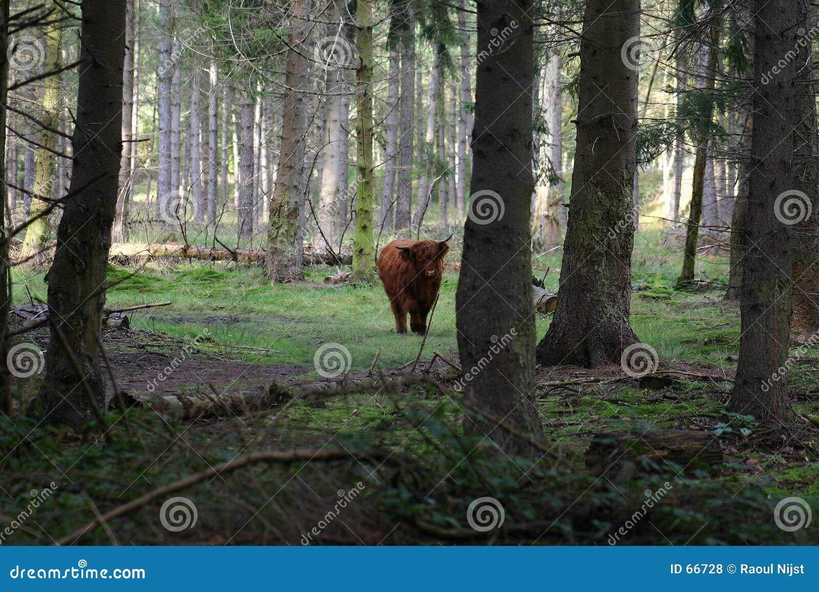 Vaca en el bosque