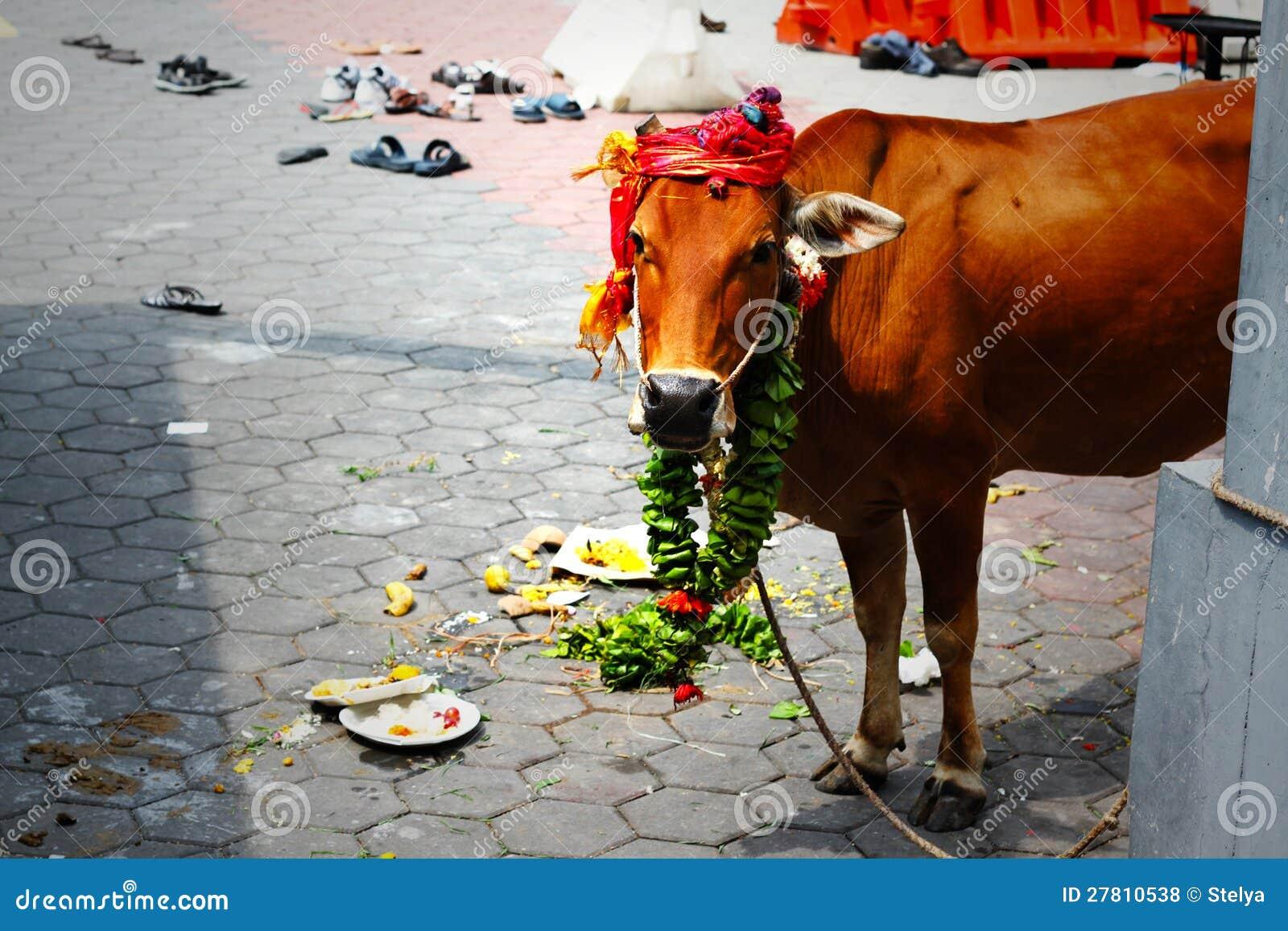 Vaca en el partido hindú