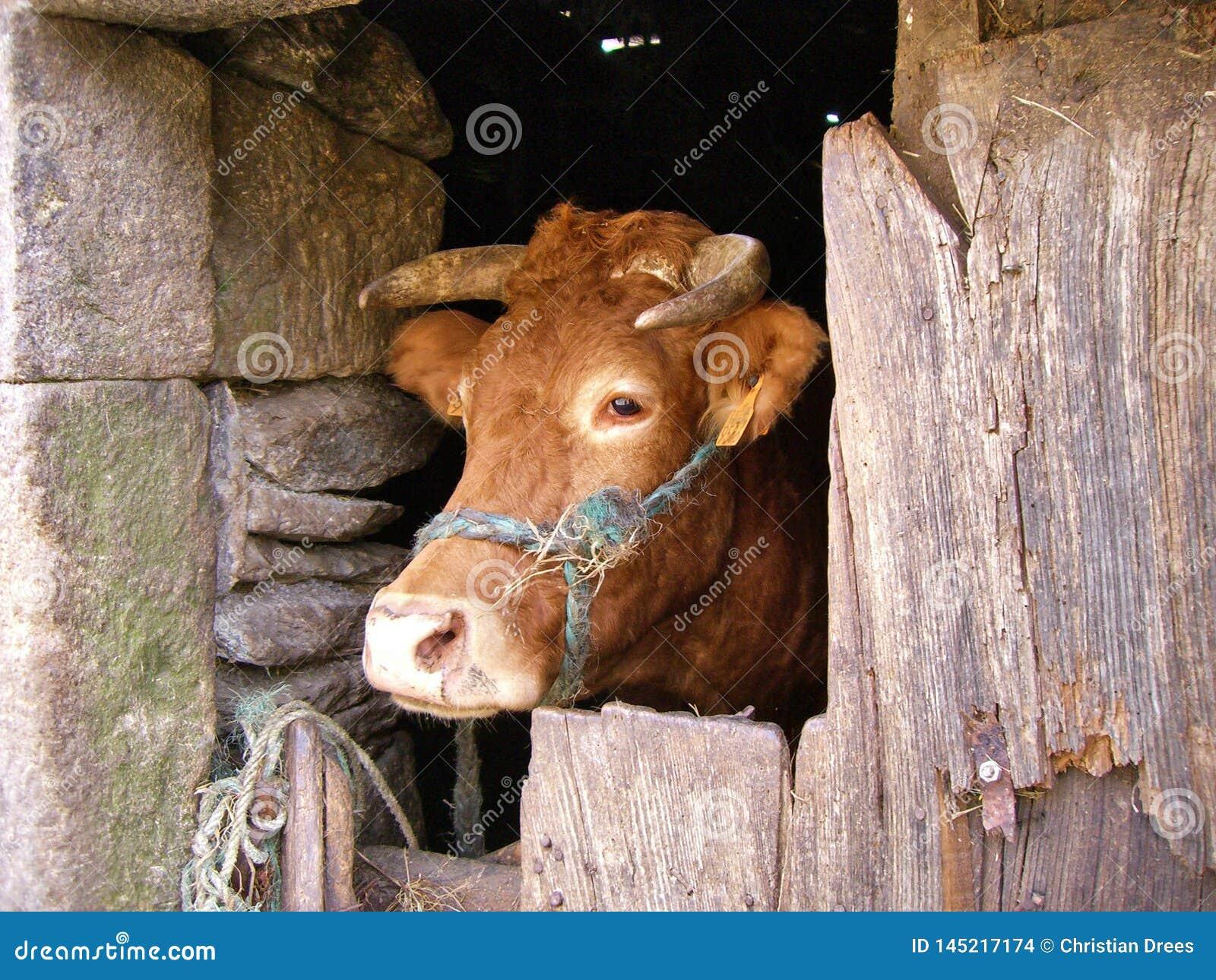 Vaca en una vertiente