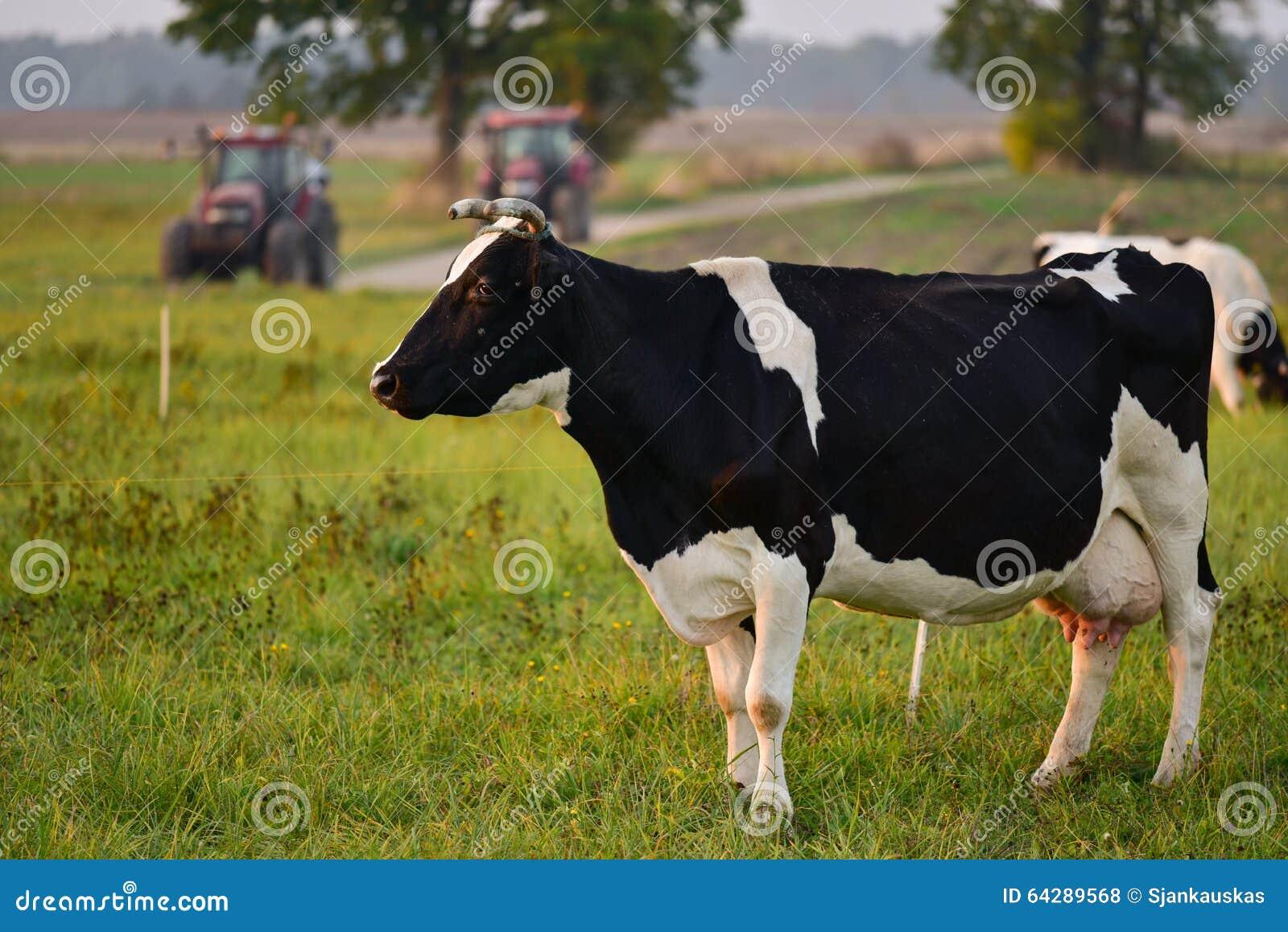 Vaca, escena rural Lituania