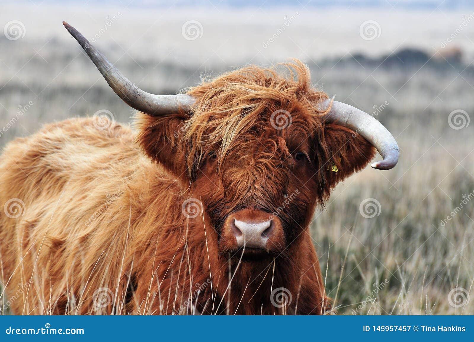 Vaca escocesa de la montaña con los horms poco firmes