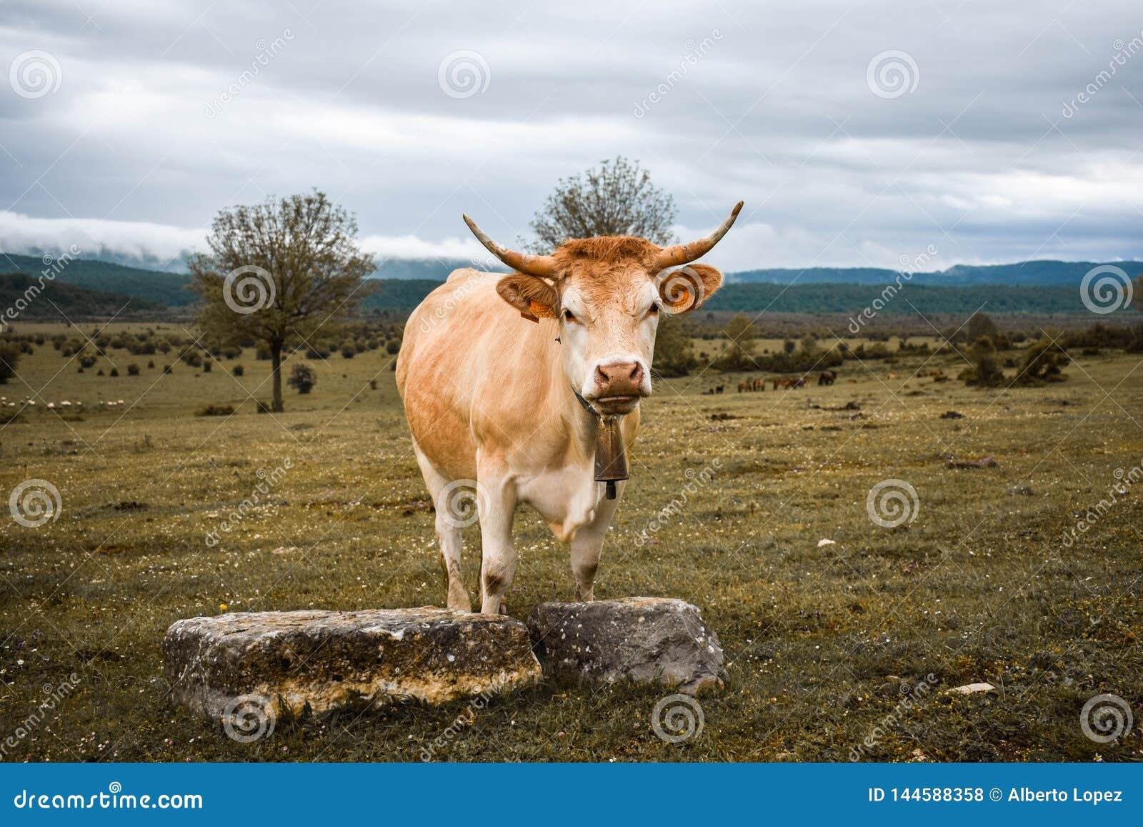 Vaca imponente en un campo