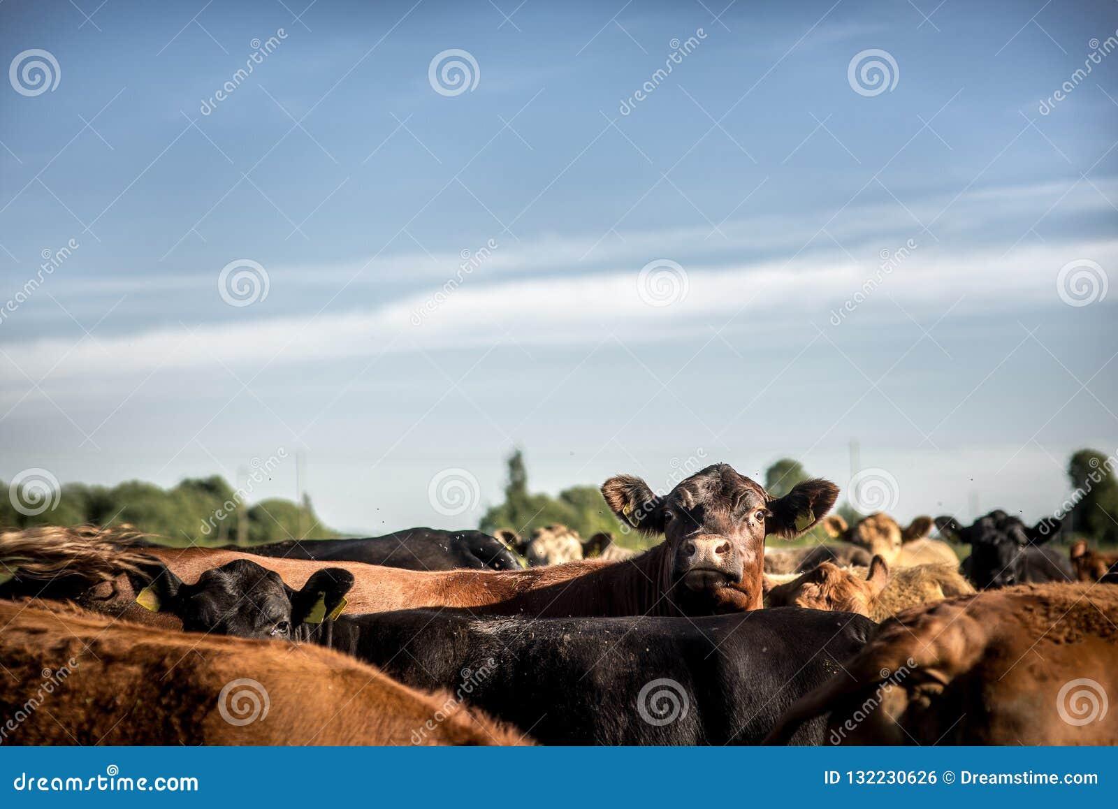Vaca interessada de angus que olha em torno de levantar sua cabeça sob o rebanho