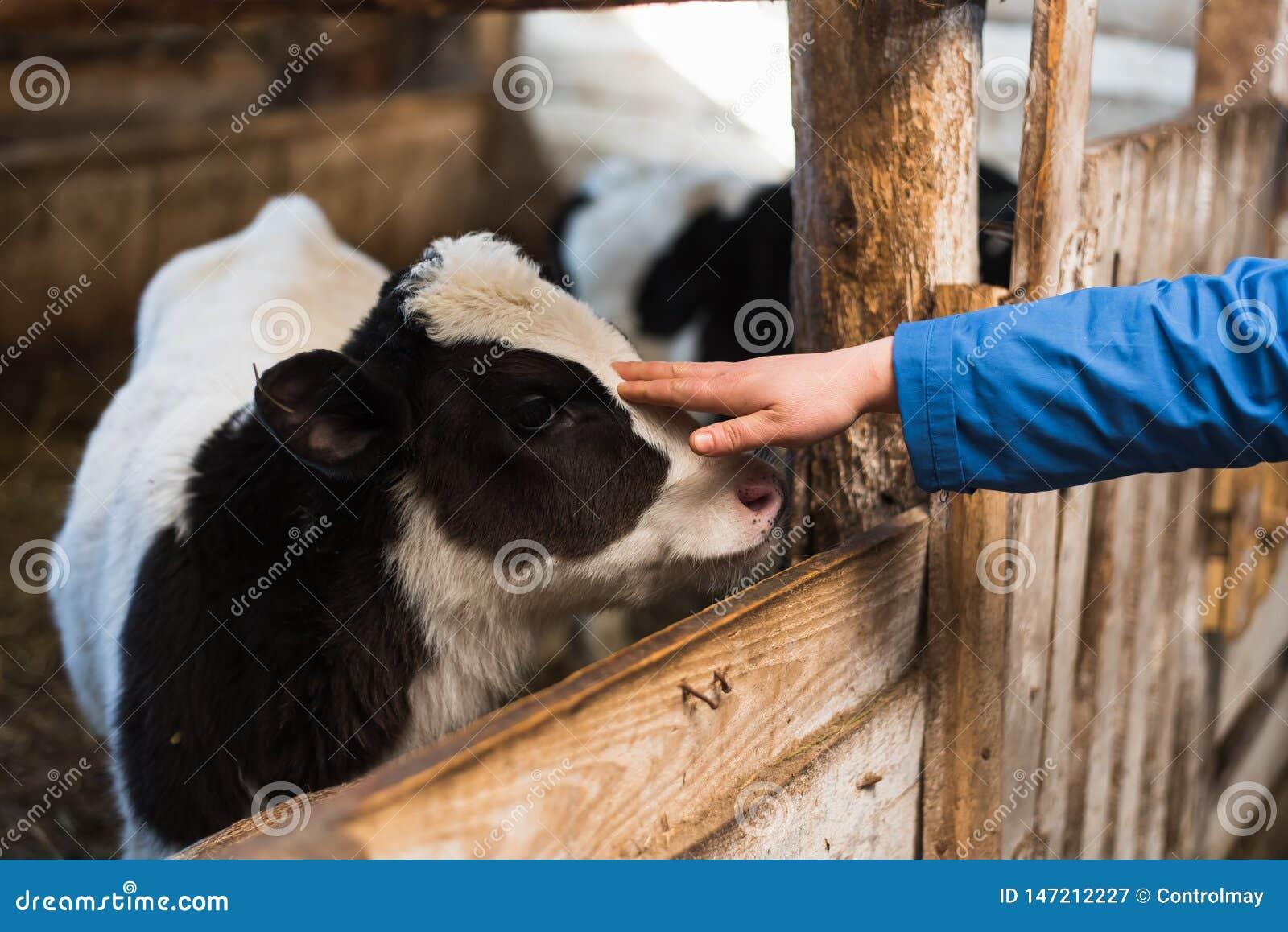 Vaca linda en la granja