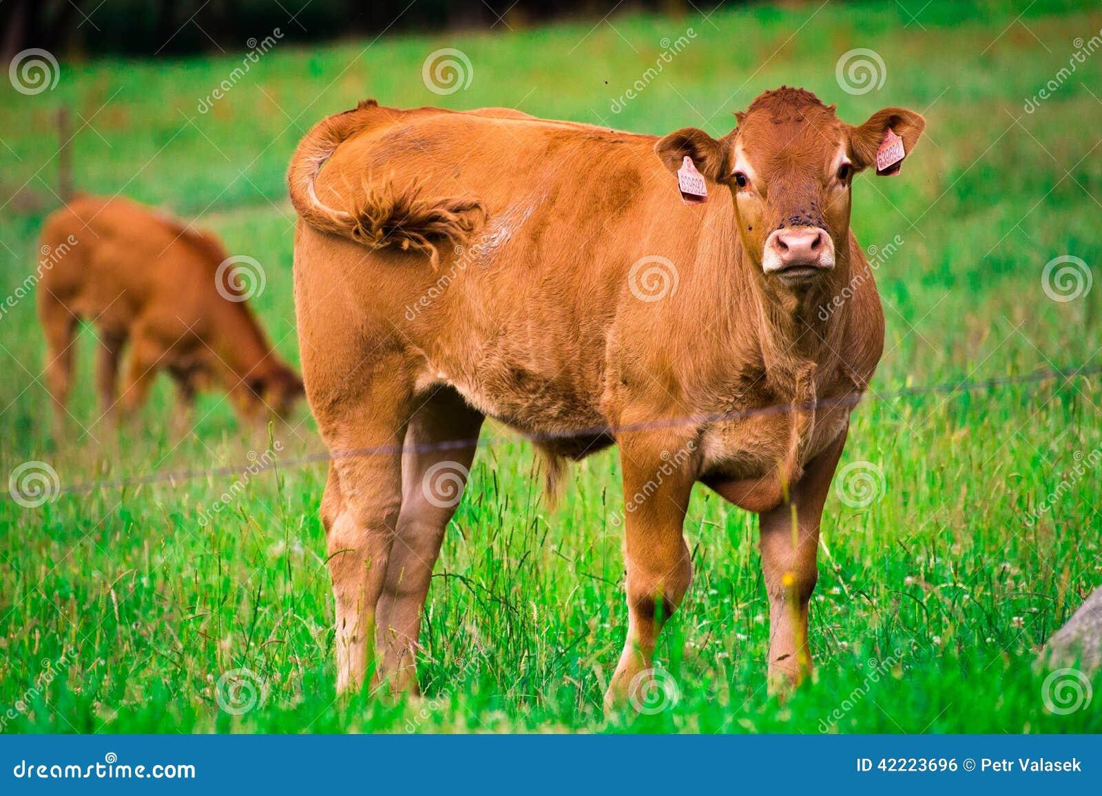 Vaca marrom