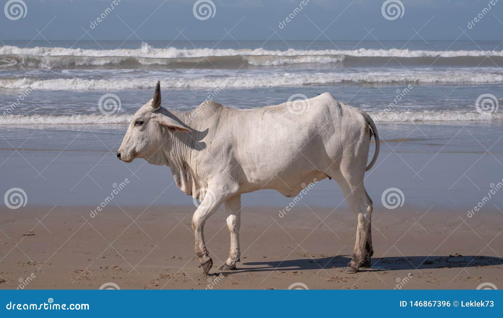 Vaca na areia na segunda praia, St Johns portuário na costa selvagem em Transkei, África do Sul