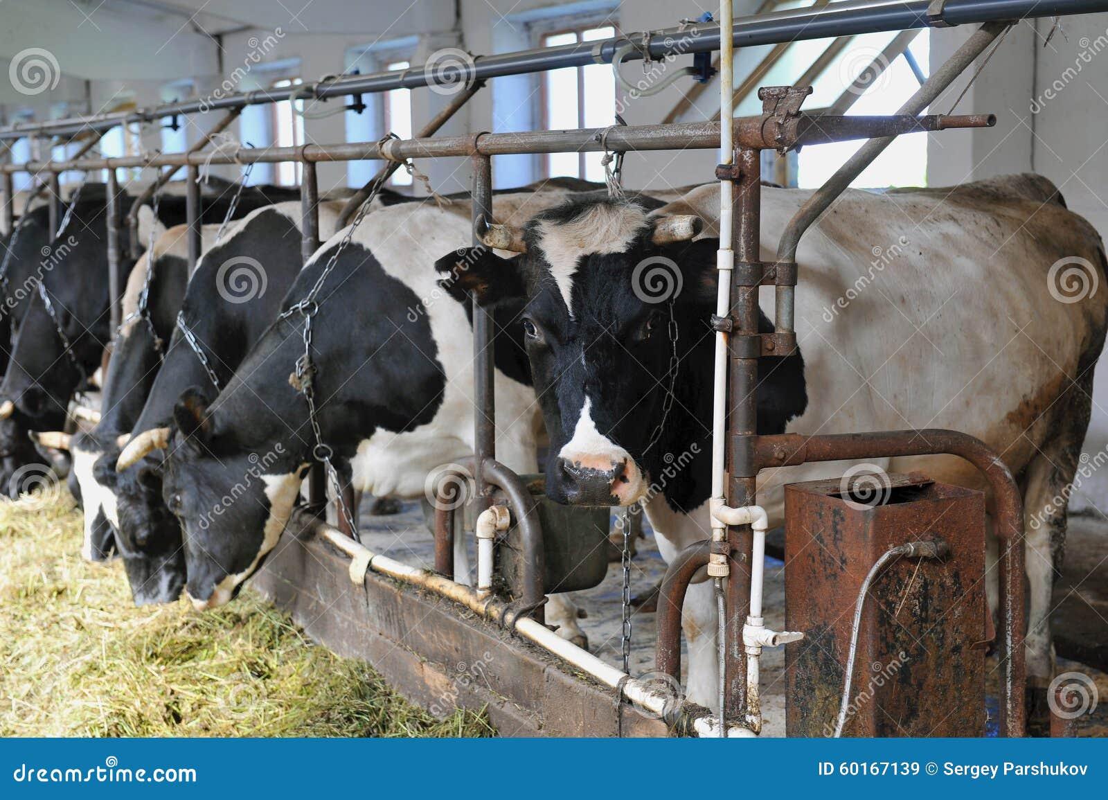 Vaca na exploração agrícola