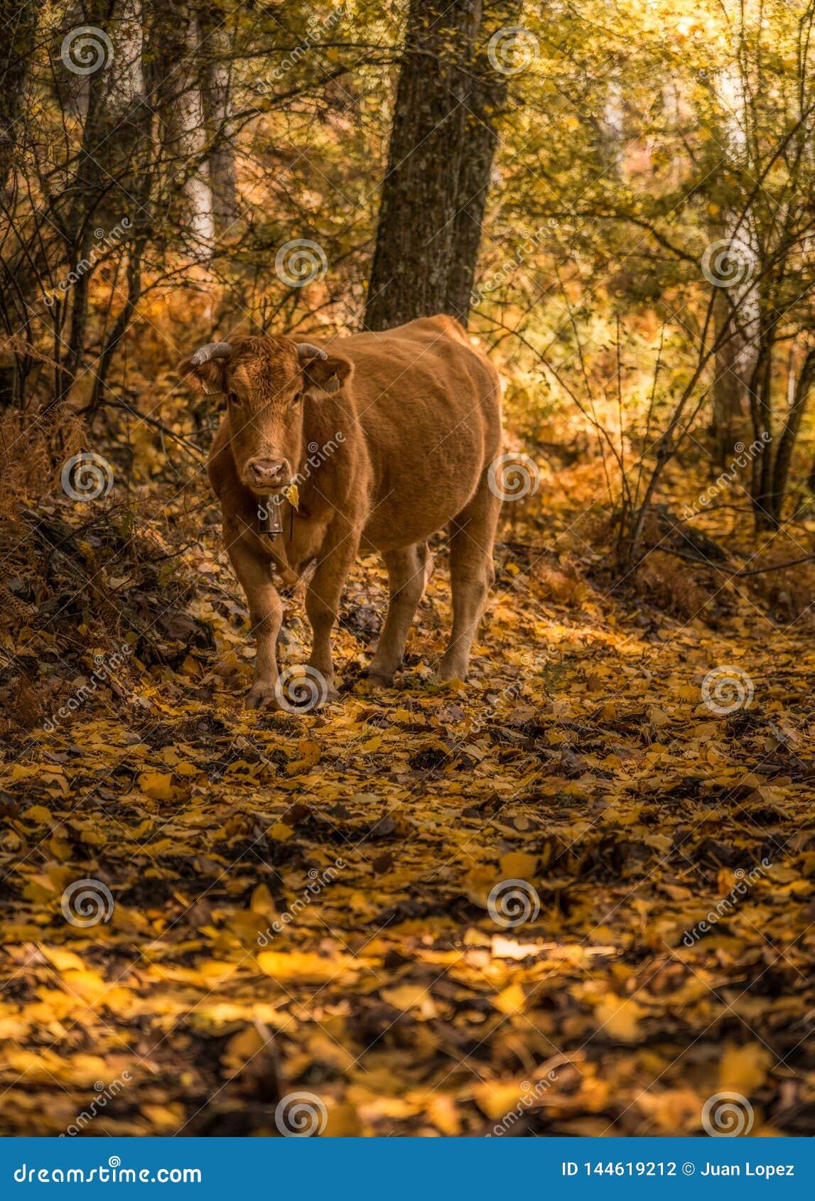 Vaca na floresta