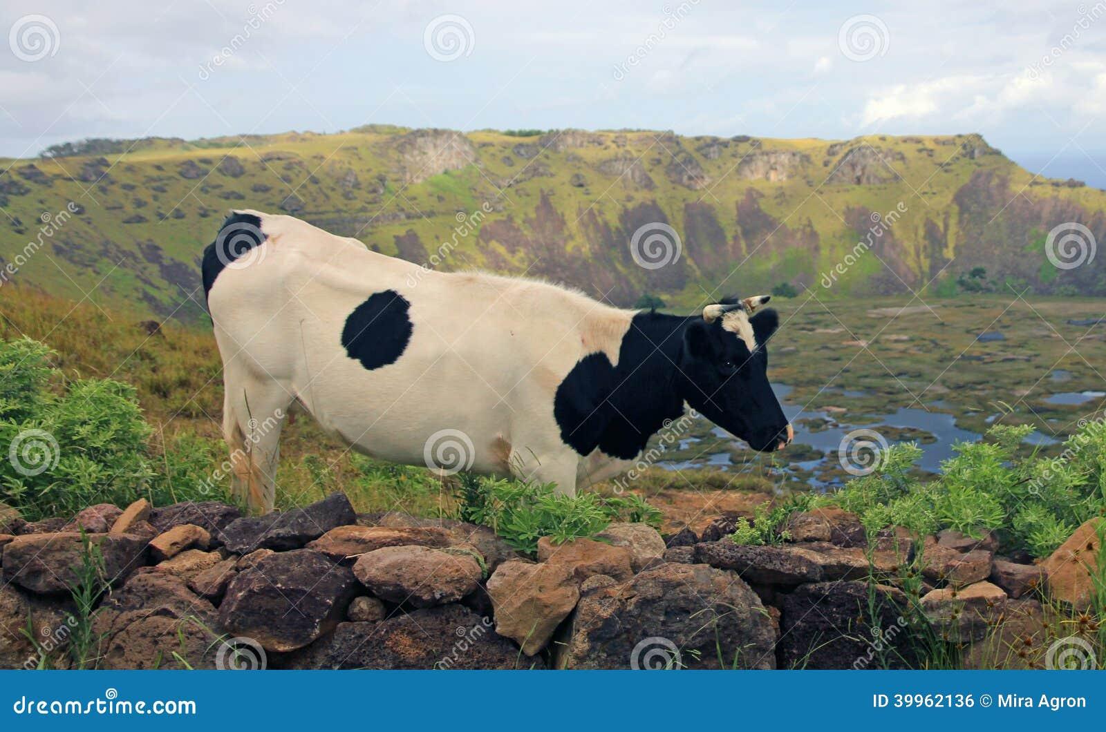 Vaca na Ilha de Páscoa