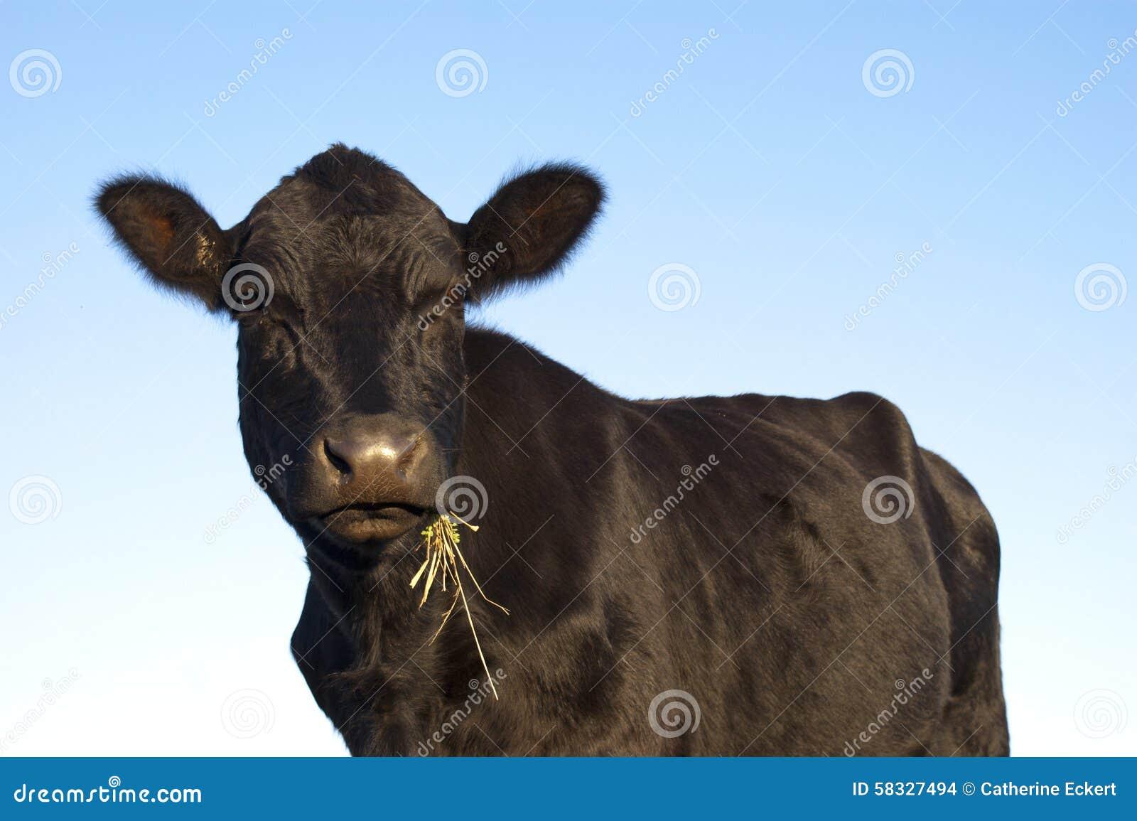 Vaca negra de Angus
