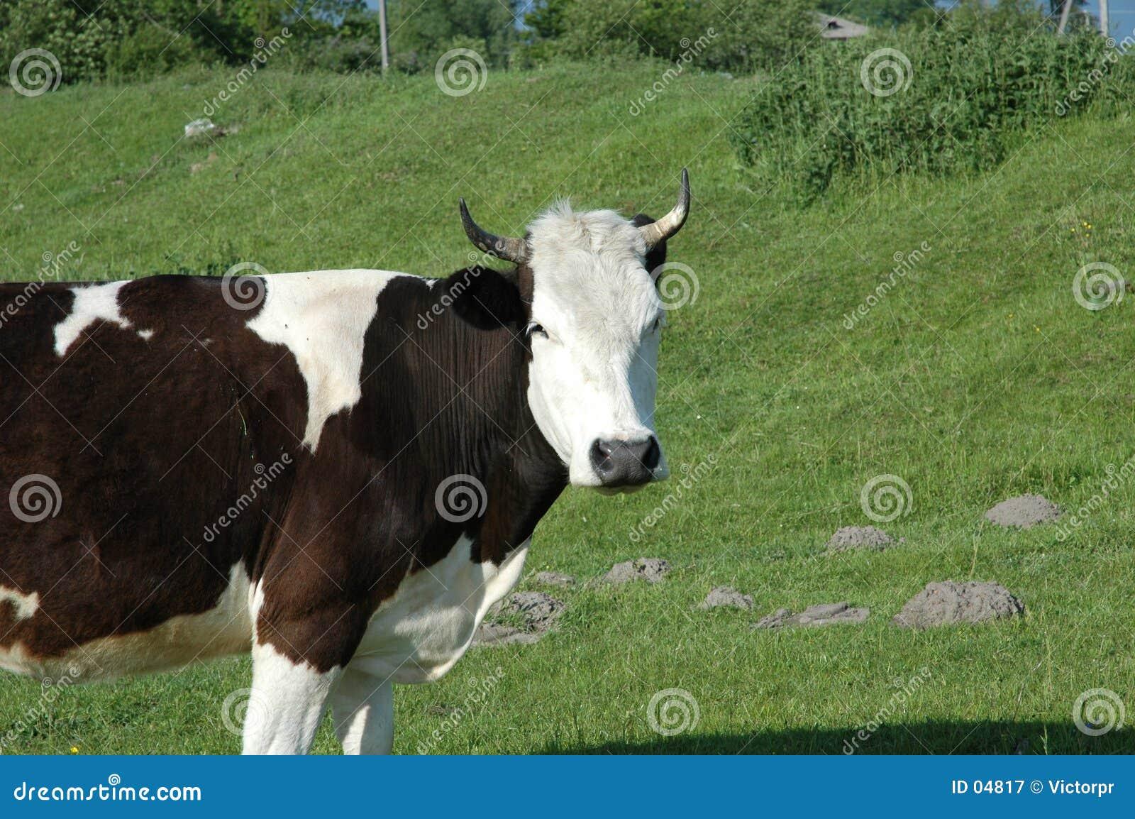 Vaca no campo verde