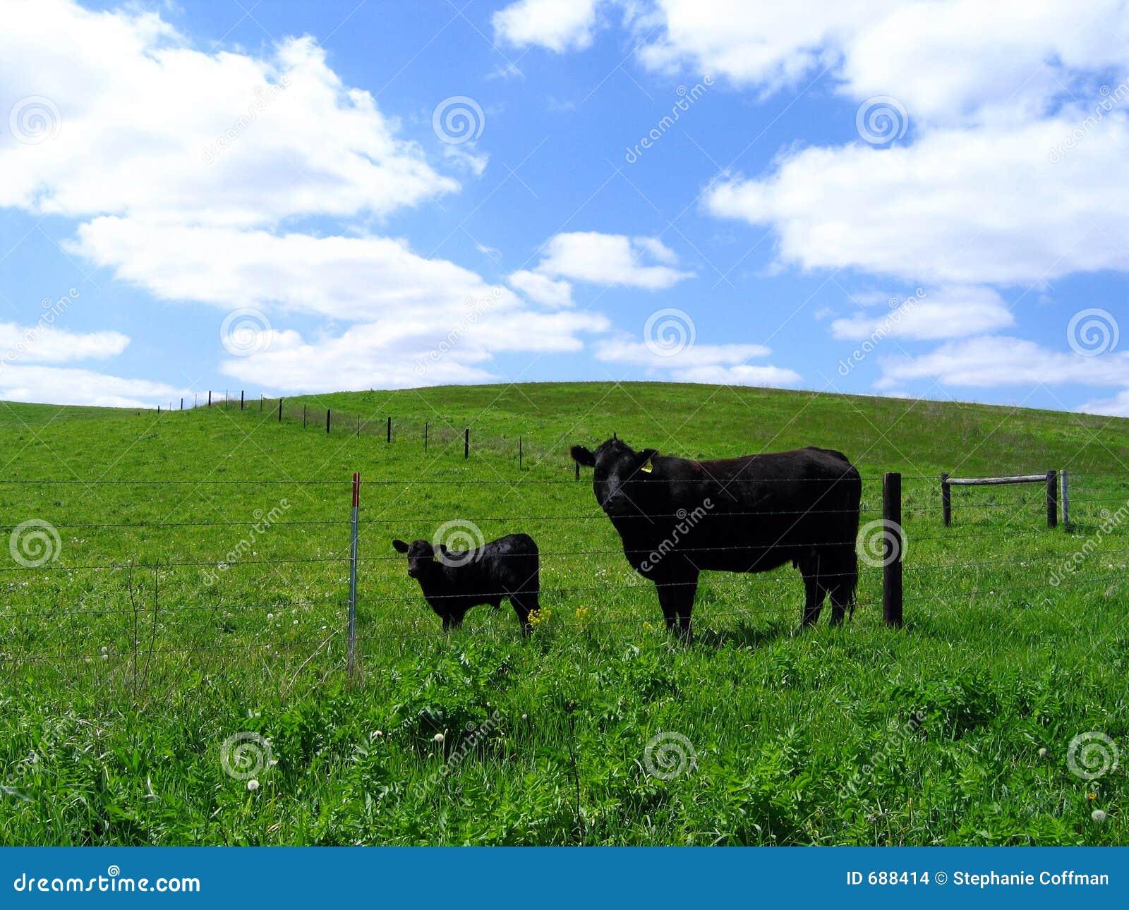 Vaca preta de angus e sua vitela