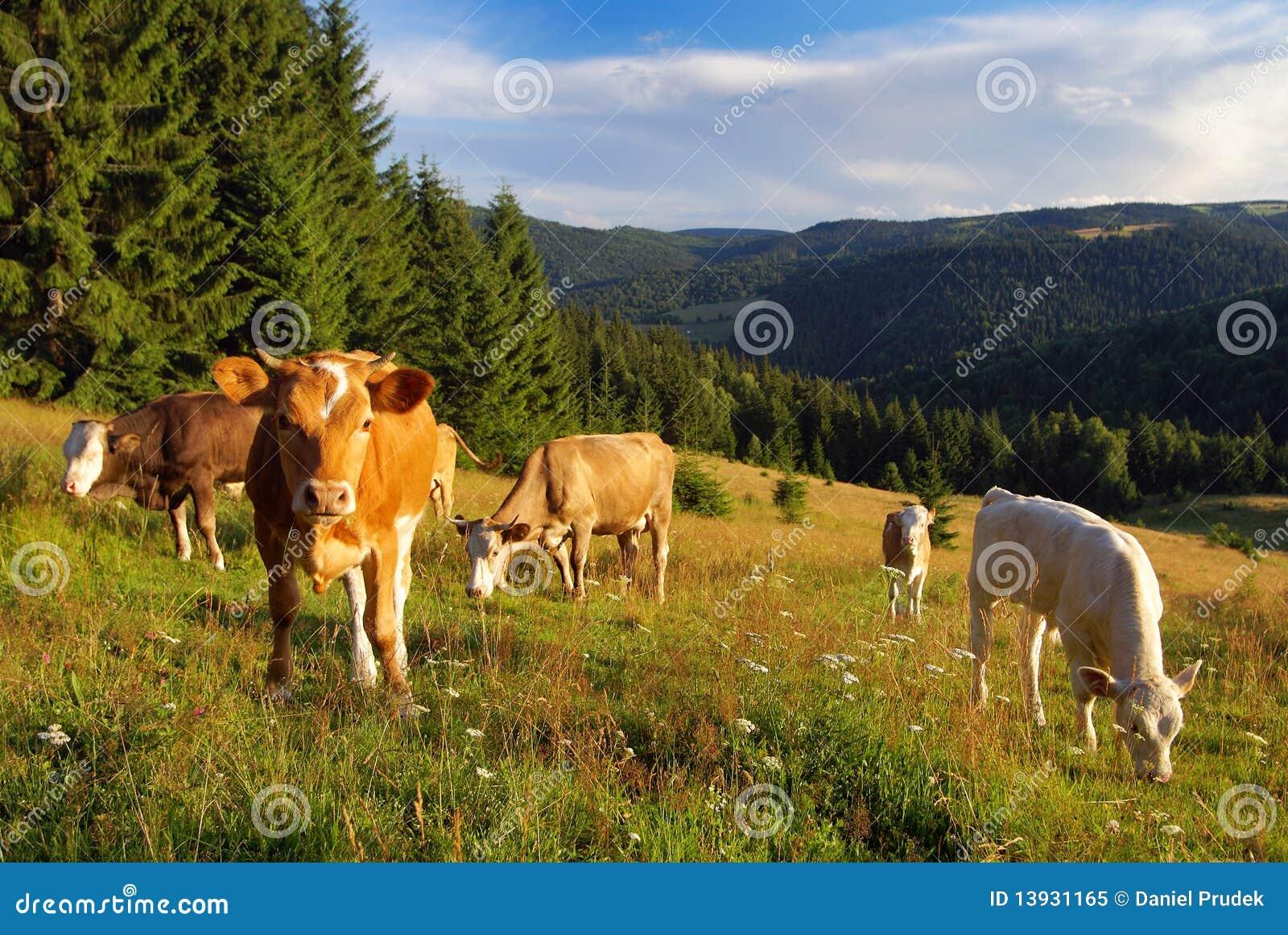 Vaca que pasta no prado