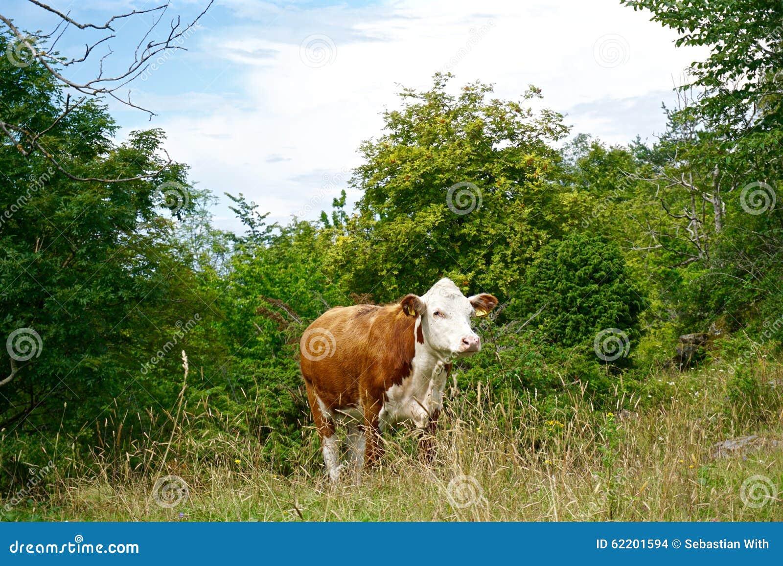 Vaca selvagem na costa oeste sueco na ilha