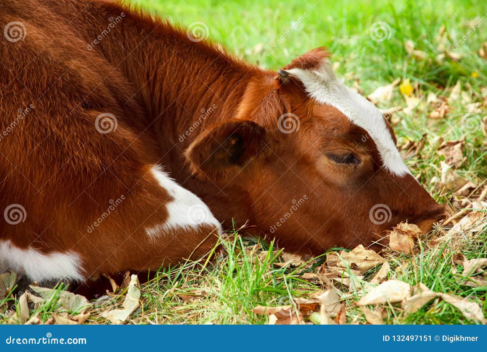 Vaca triste e doente