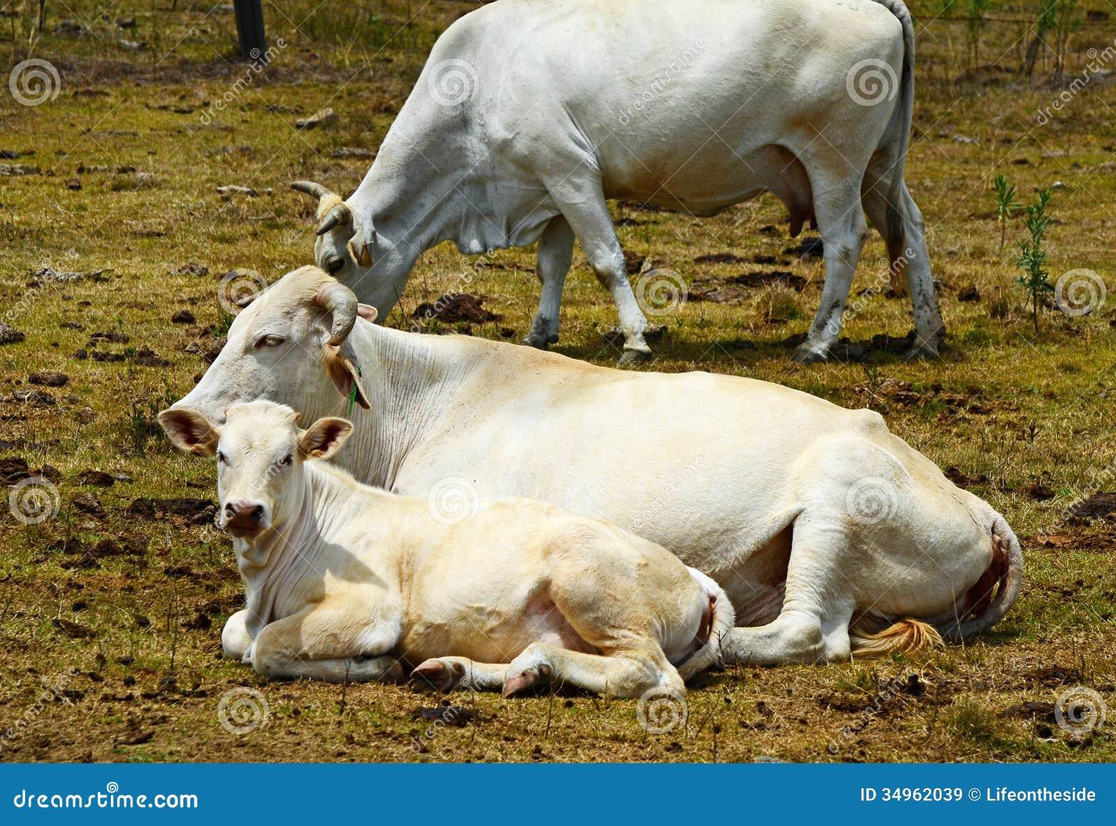 Vaca & vitela australianas do brâmane que descansam no prado