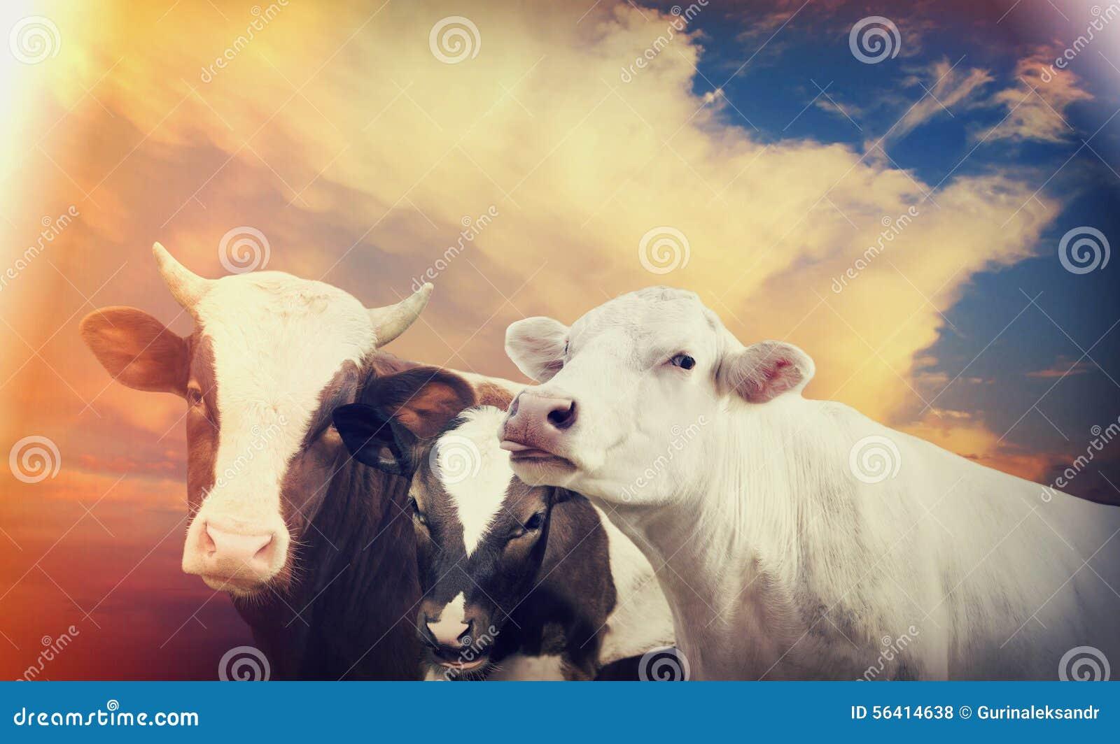 Vaca y becerro y toro