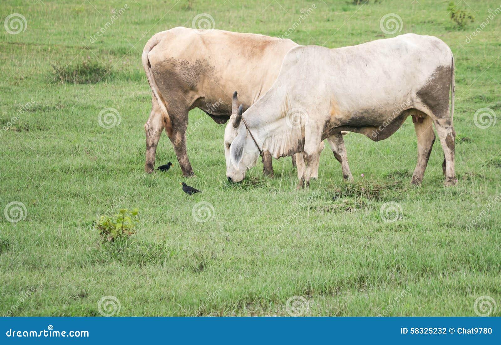 Fotos De Stock Chat9780: Vacas Foto De Archivo. Imagen De Prado, Vaca, Granja