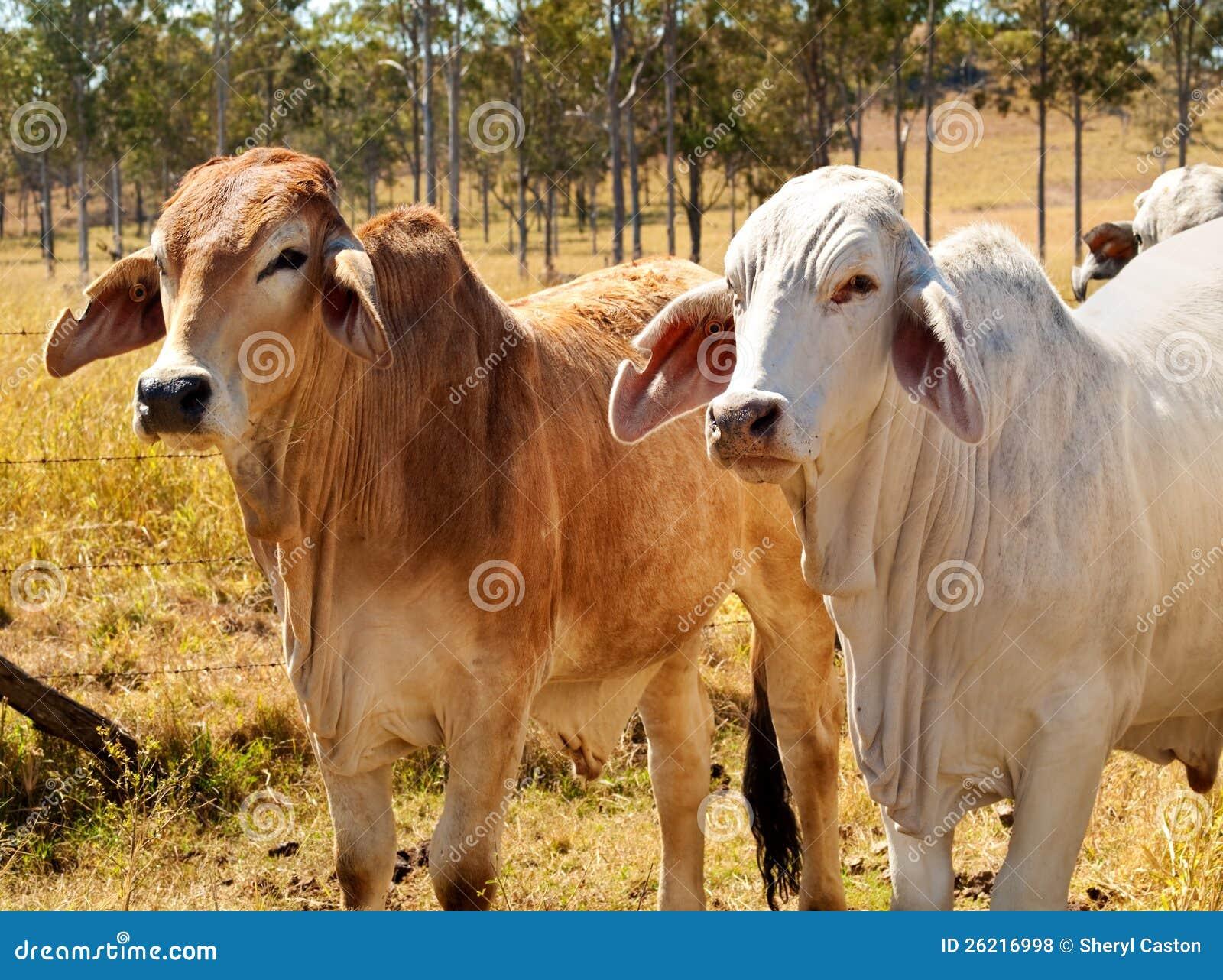 Vacas australianas do Brahman da indústria da carne