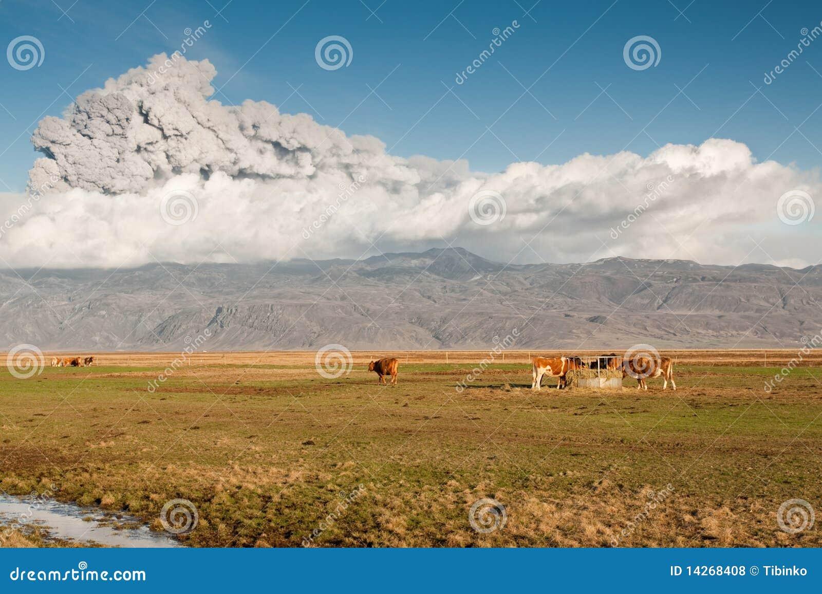 Vacas bajo la ceniza volcánica